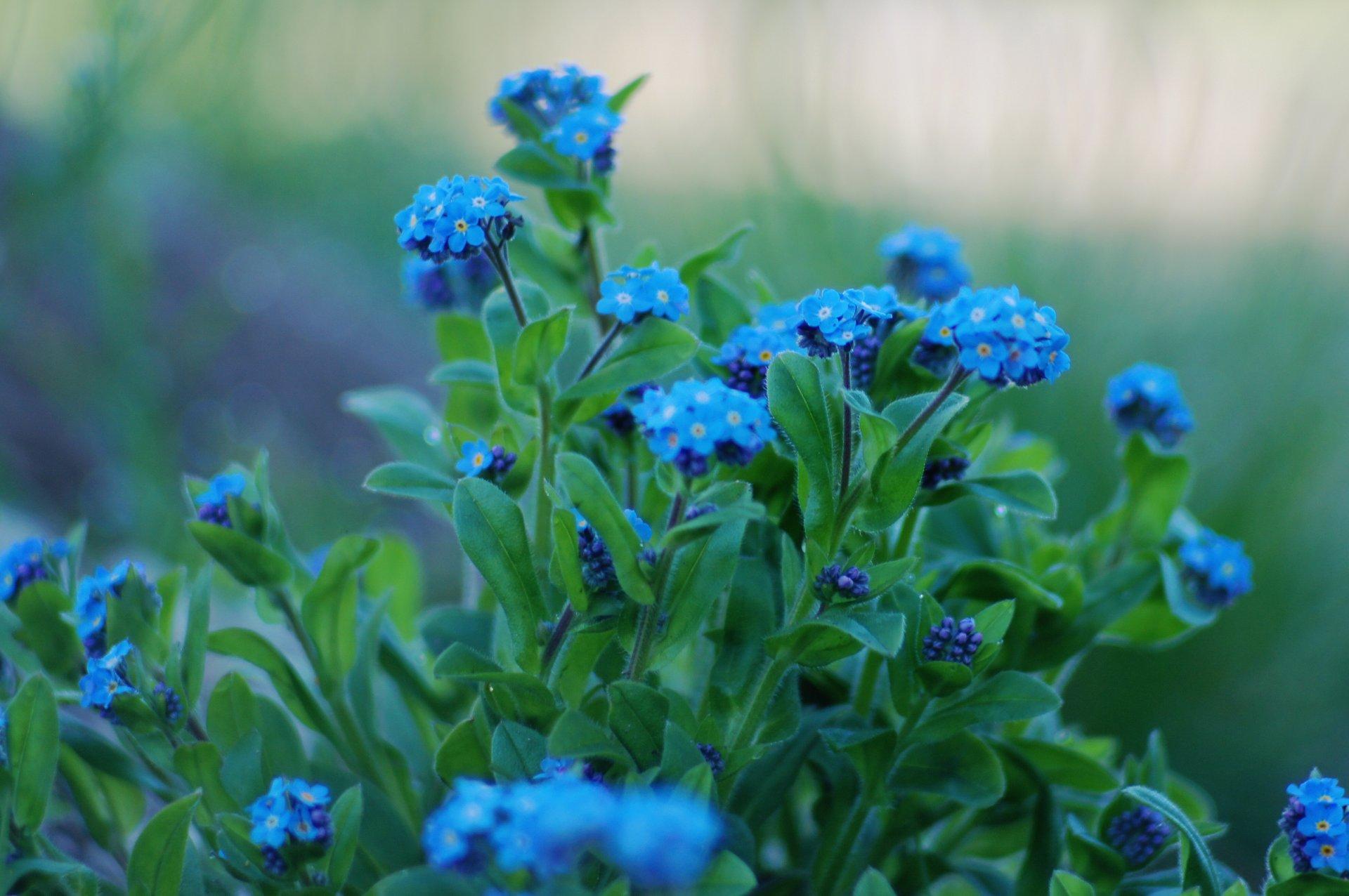 Синие цветы картинки с названиями