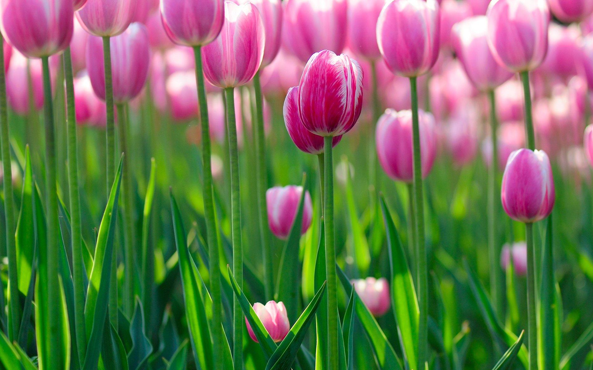 тюльпаны свет цветы  № 736298 загрузить