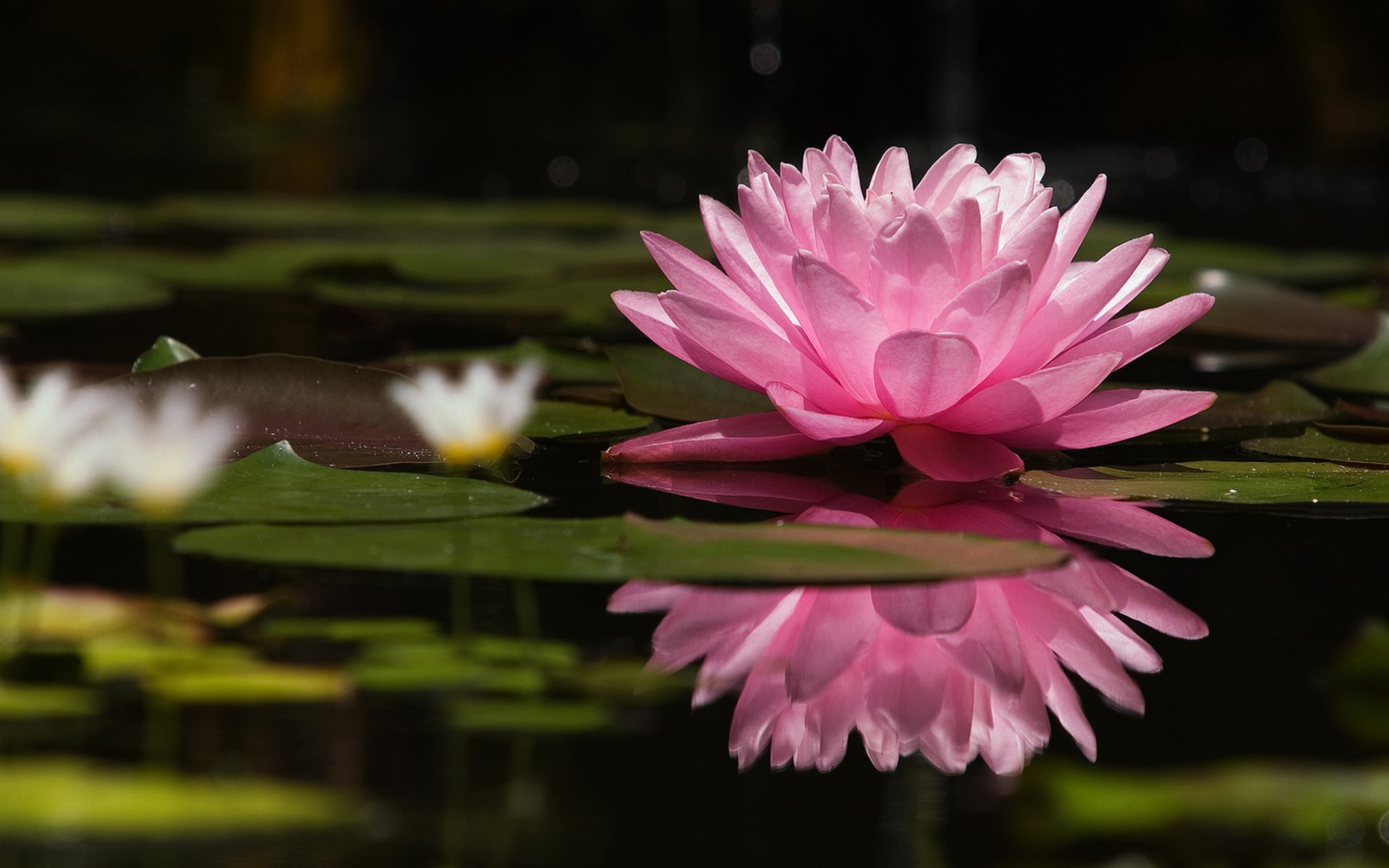 Цветы в воде обои на рабочий стол