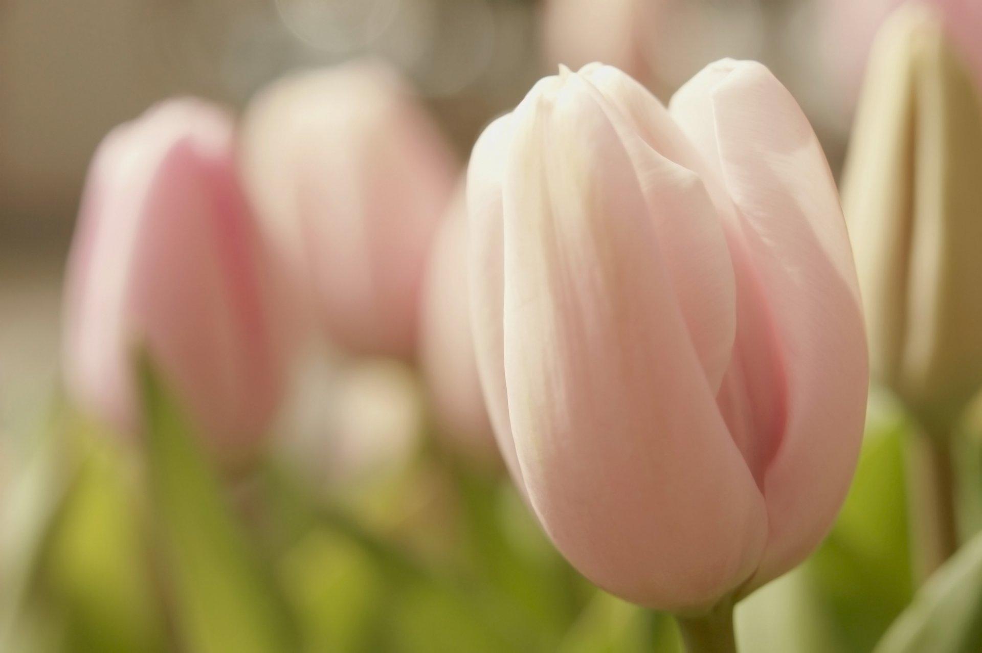 нежные тюльпаны картинки на телефон этого нужна длинная
