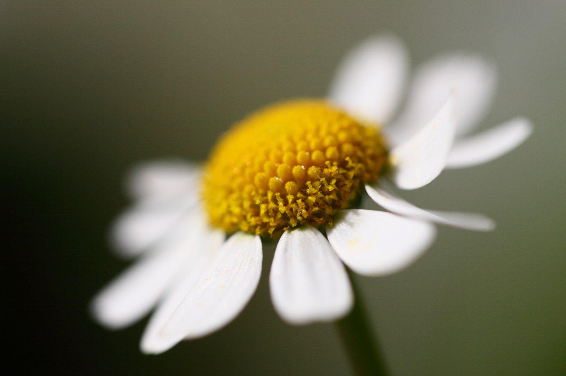 таких фото ромашек с крупными лепестками любоваться природой можно
