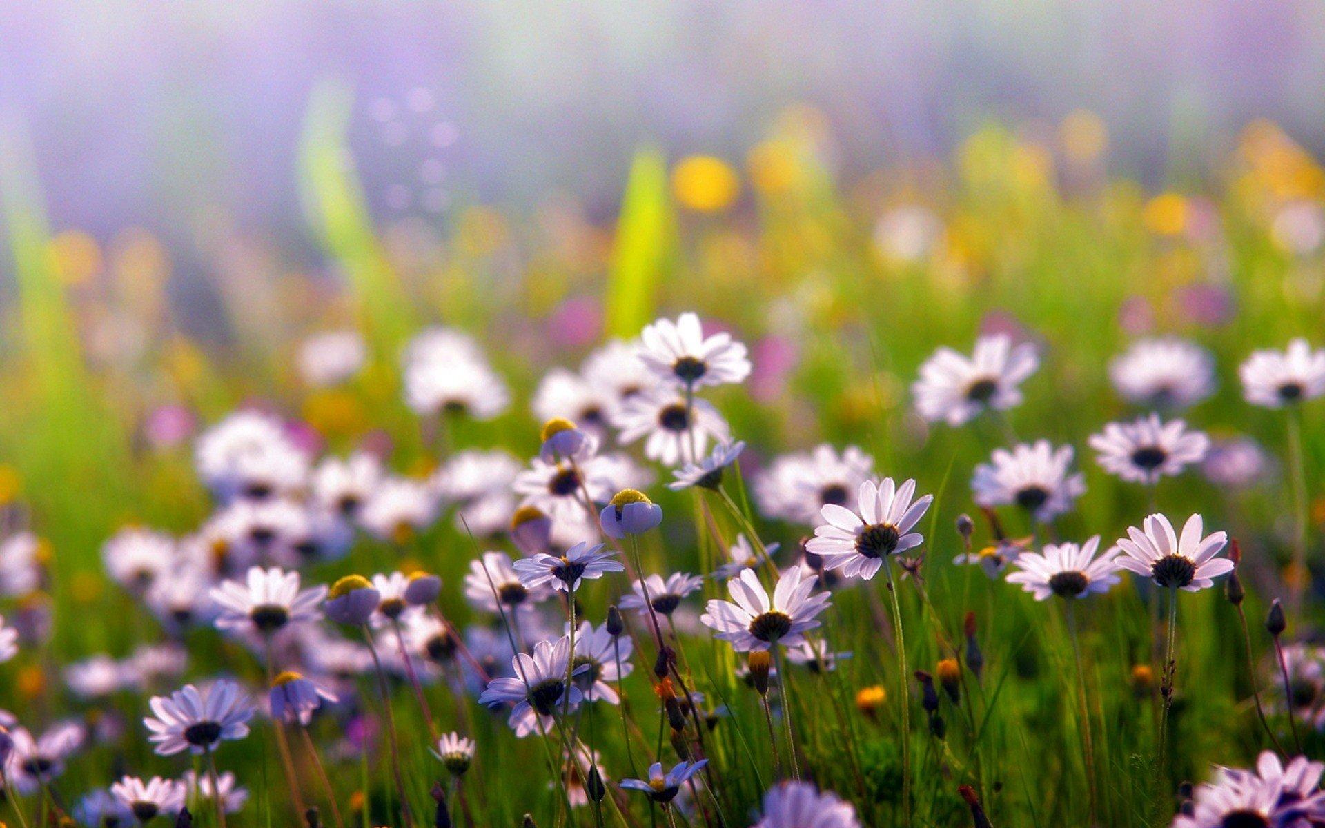 красные цветы трава ромашки природа  № 3836456 загрузить