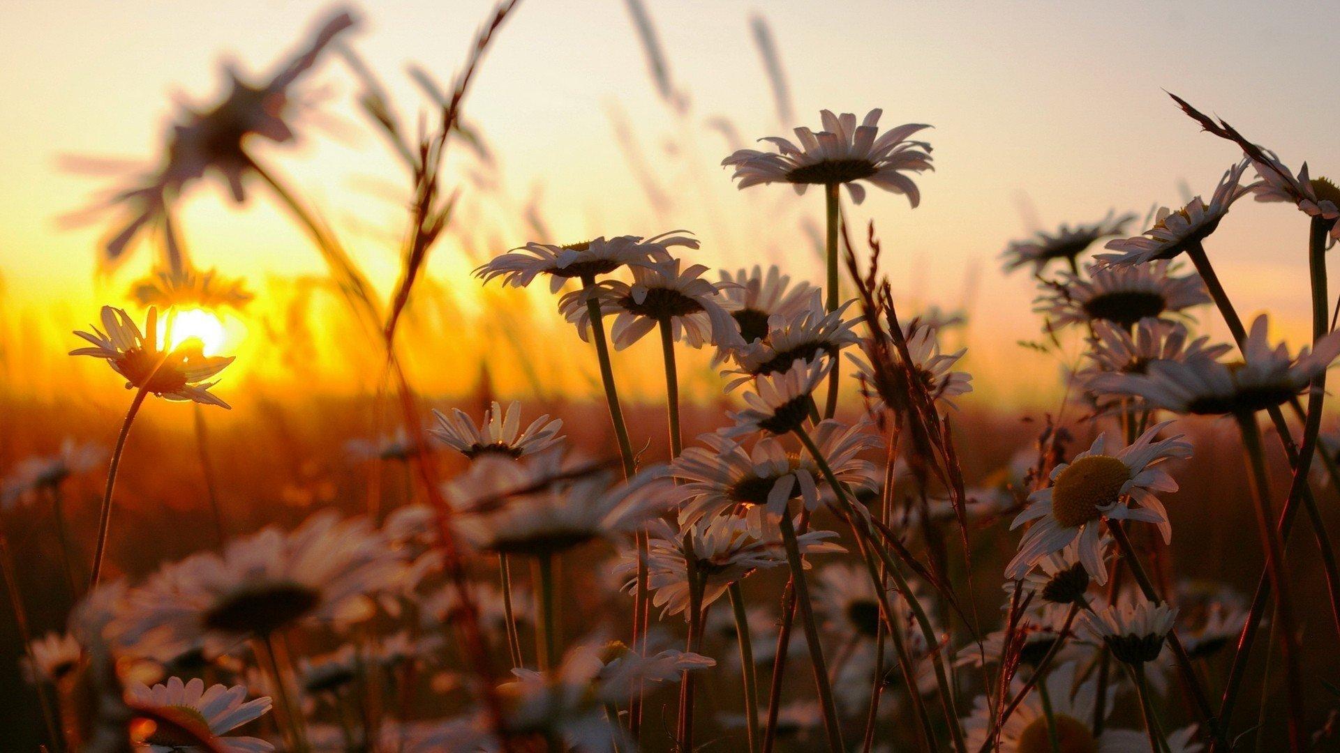 Картинки цветы на фоне заката, открытку