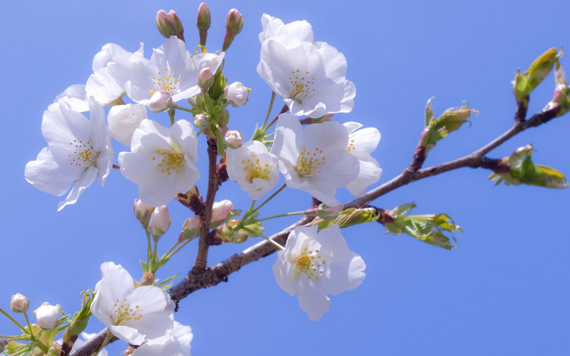 Поздравление, открытки вишня цветет