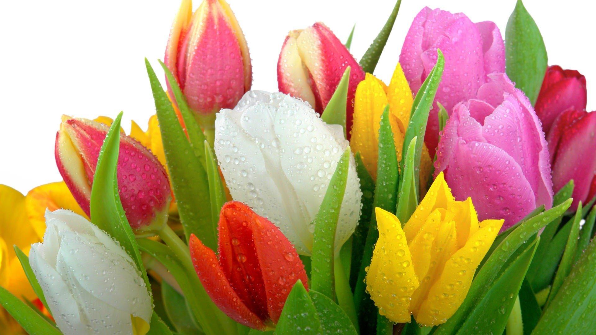 фото с тюльпанами на телефон очень полезные