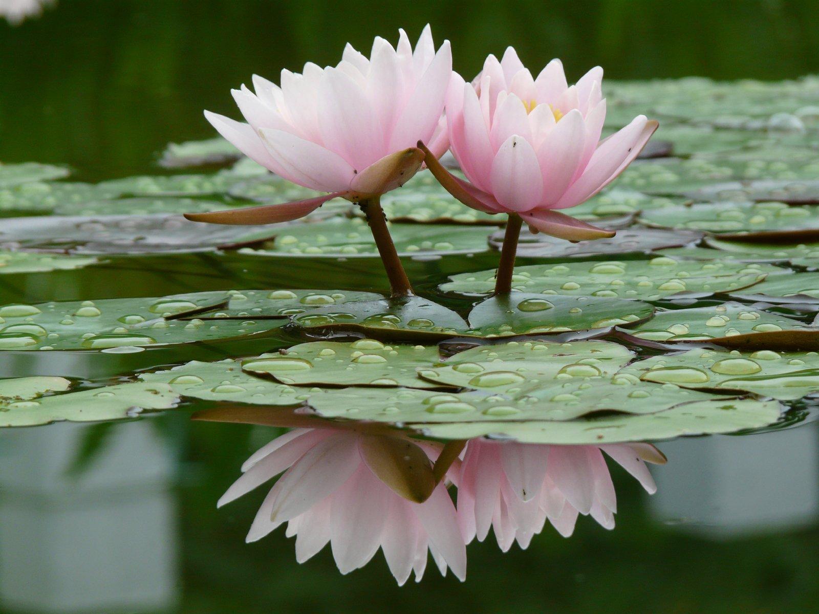 Квартира, картинки лилии на воде