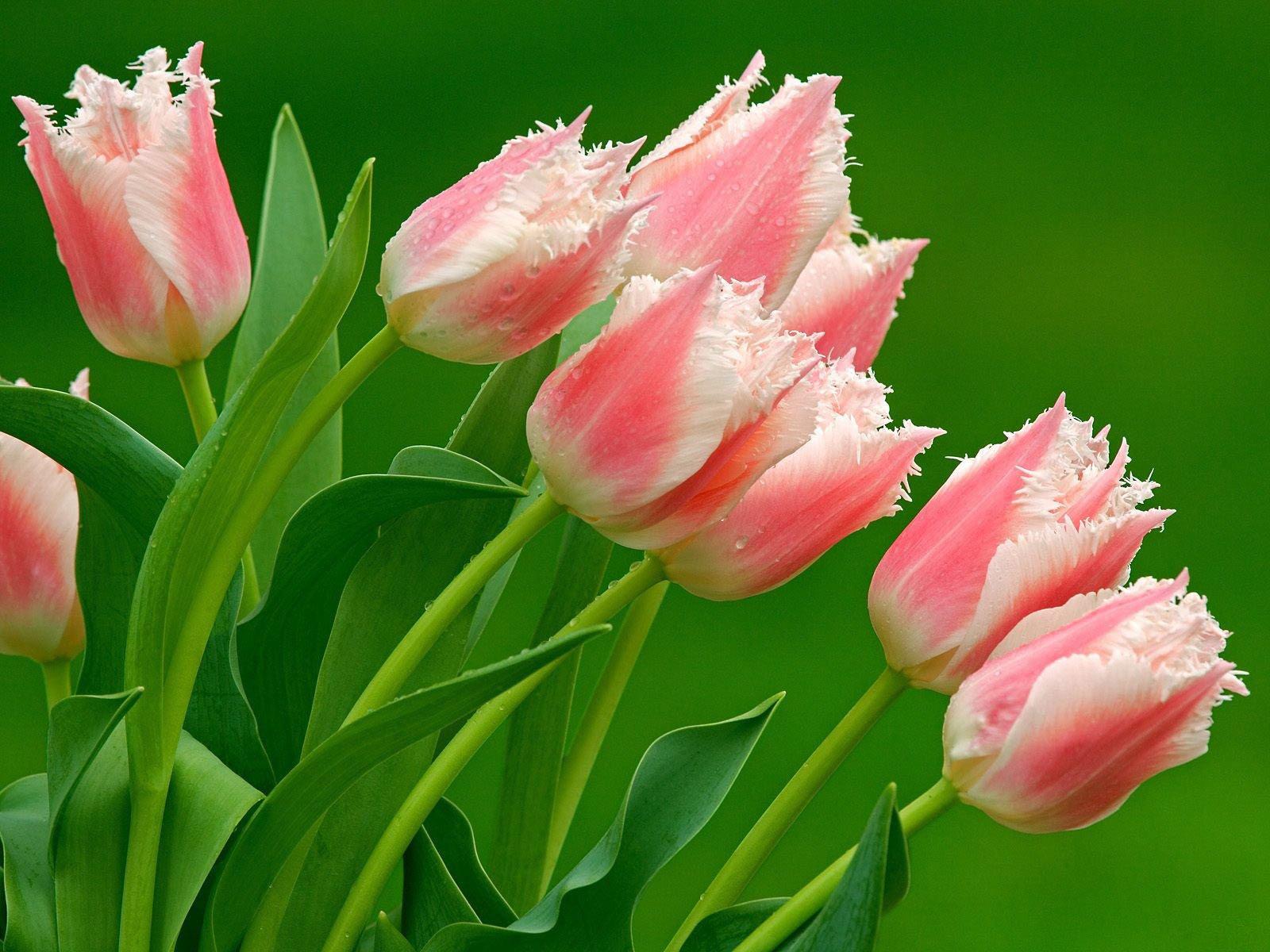 этой группе тюльпаны фото на аву сюда сейчас зайдёт