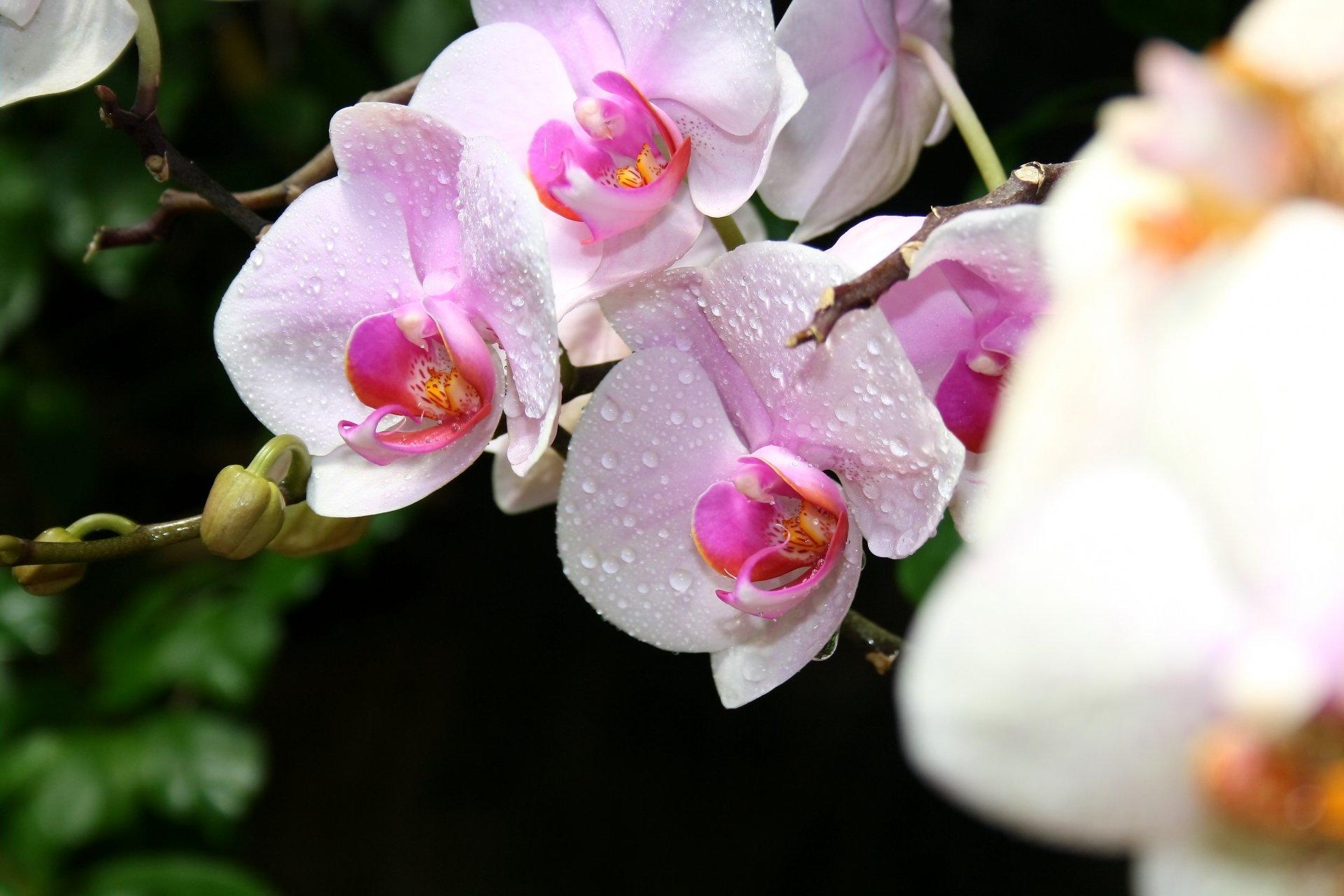 Картинки орхидеи на рабочий стол красивые большие на весь экран