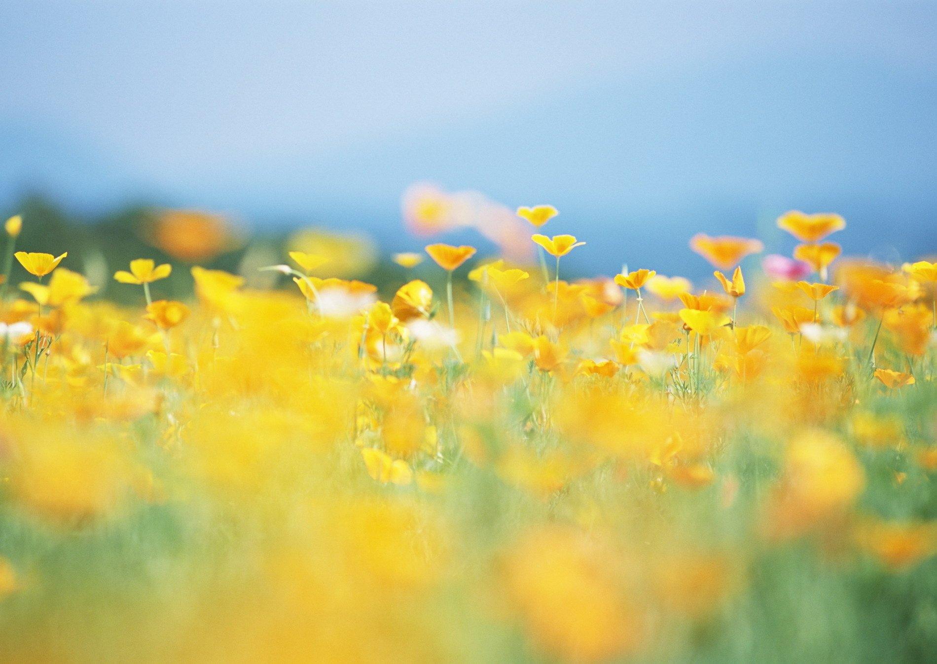 природа крупный план цветы желтые nature large plan flowers yellow скачать