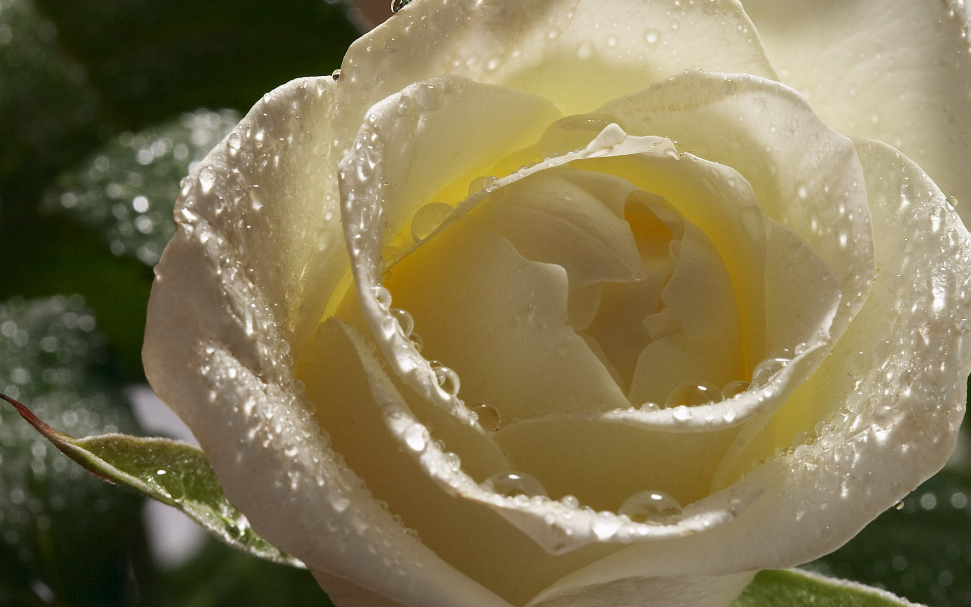 неудачных белые розы обои картинки себя