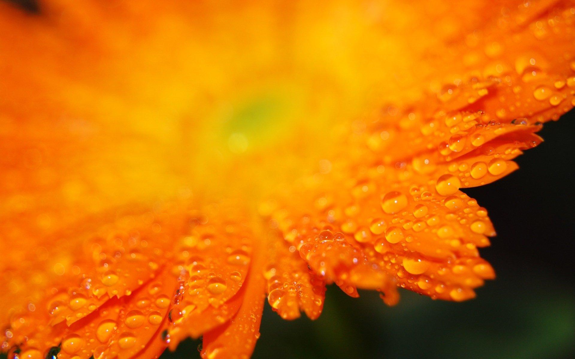 желто-оранжевые цветы бесплатно