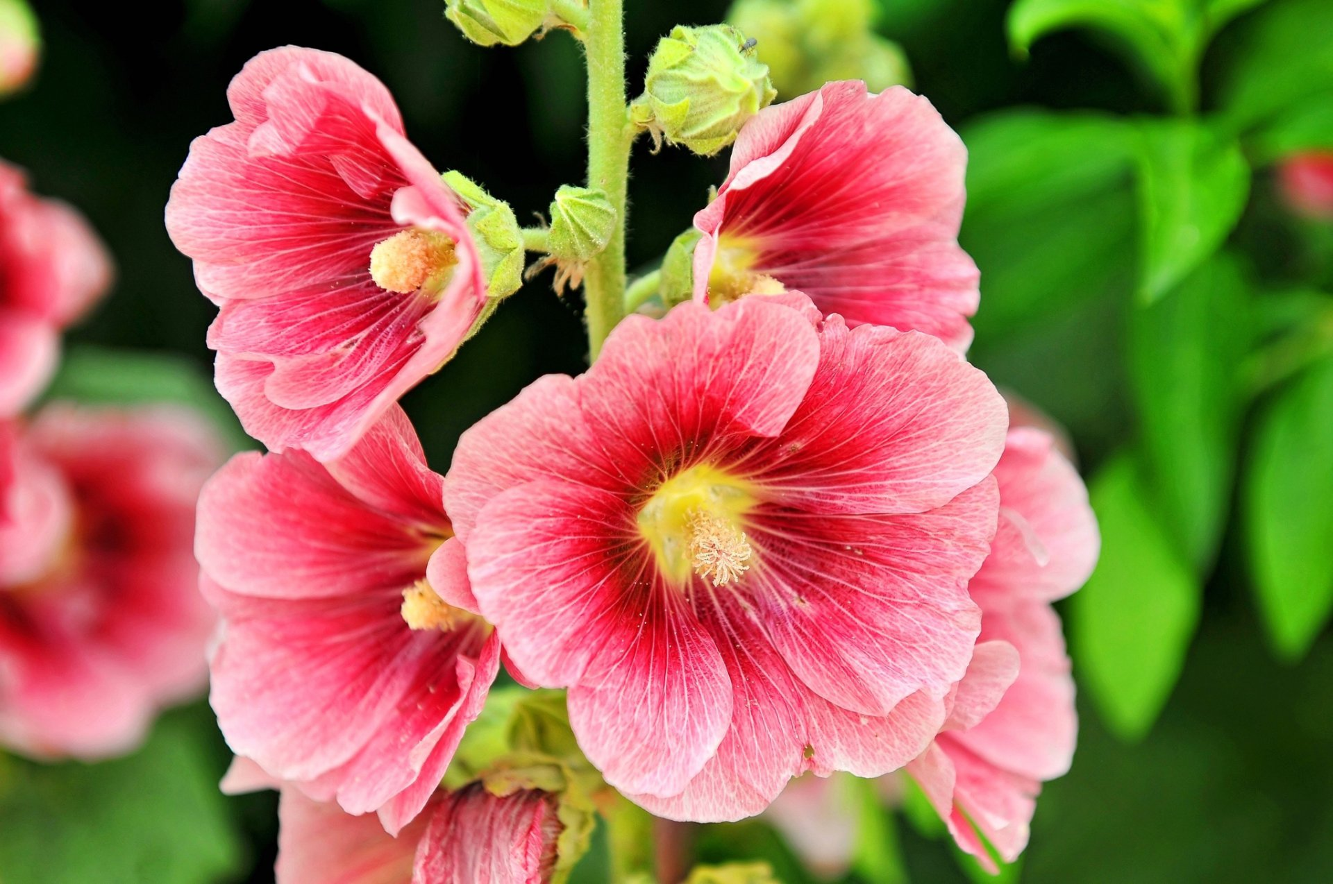 Фото цветка мальвы