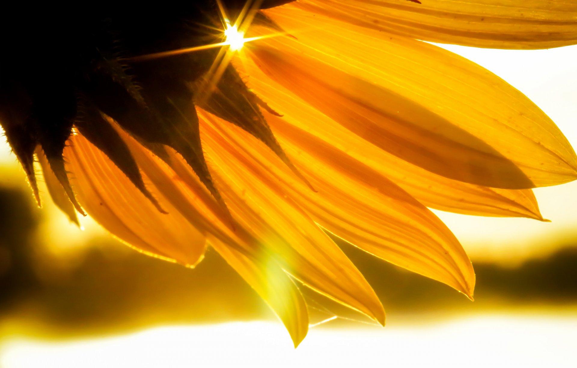 Подсолнух лепестки солнце лучи загрузить