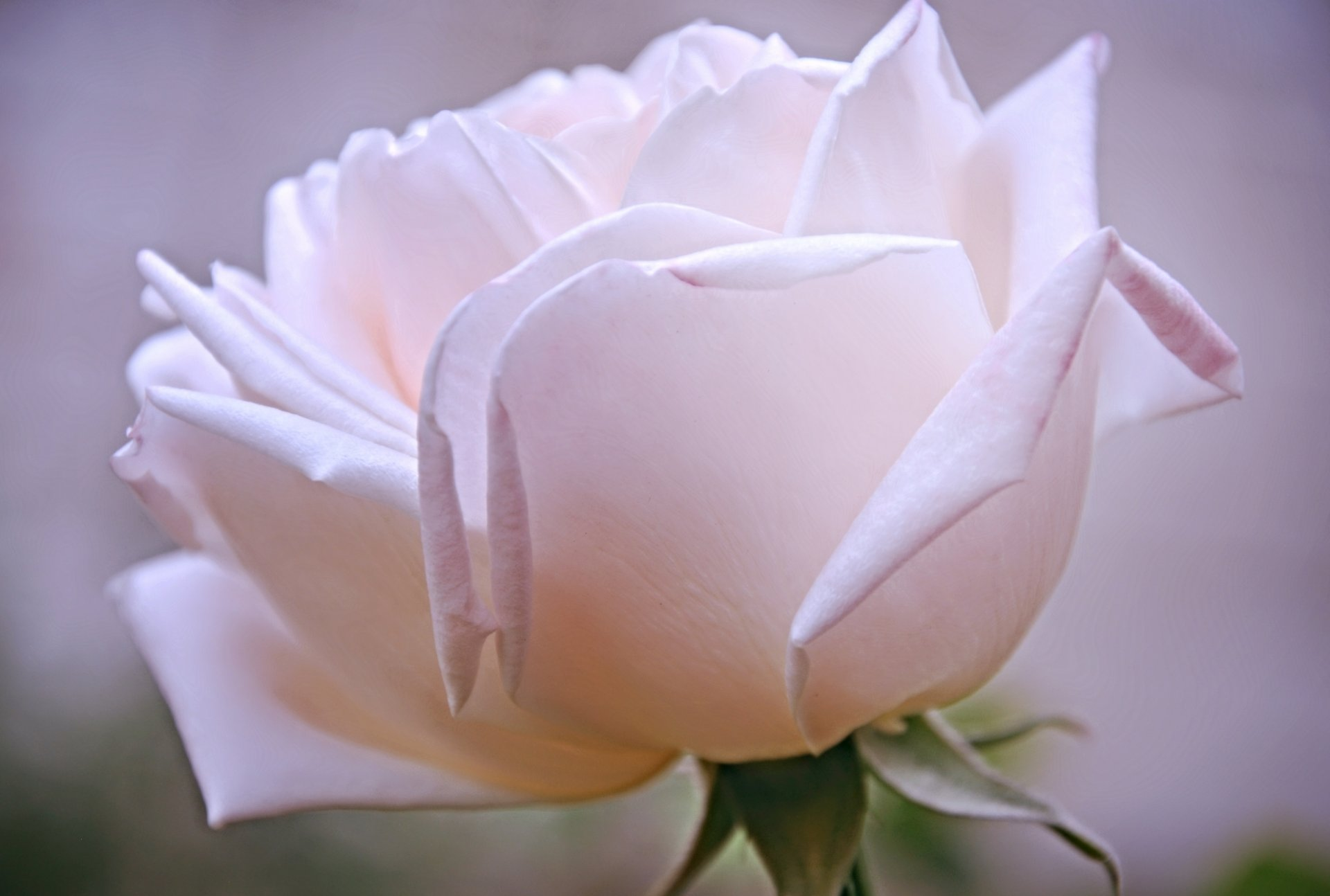 Картинка нежная белая роза