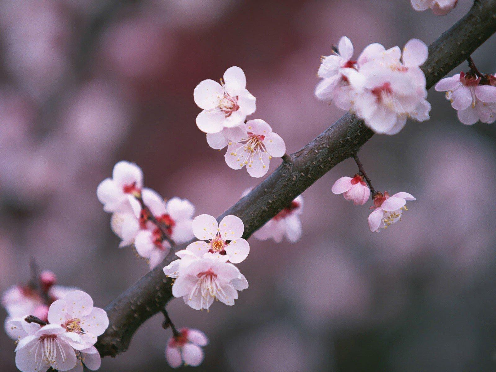 картинки ветвь сакуры