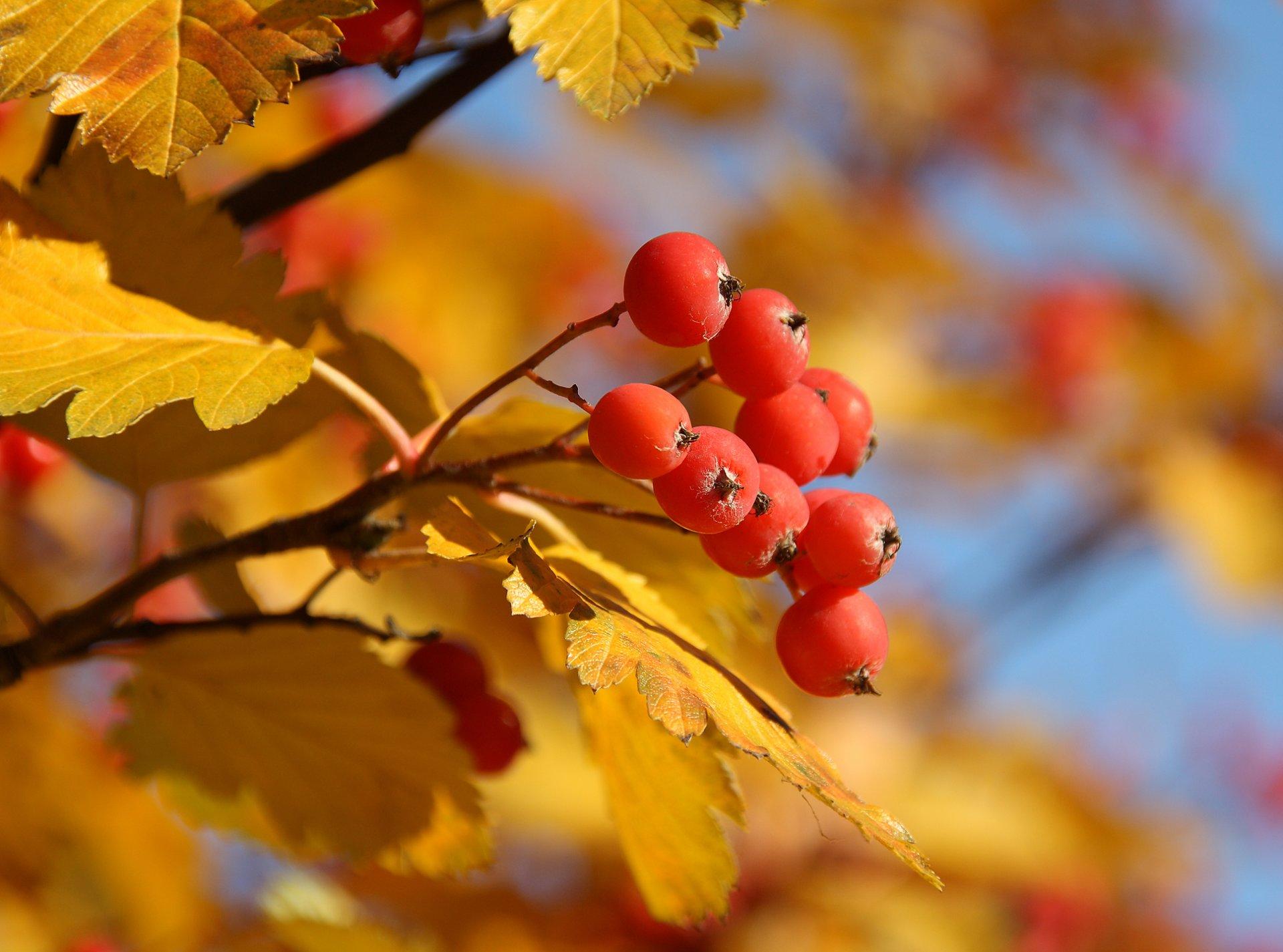 девушка осенние листь ягоды без смс