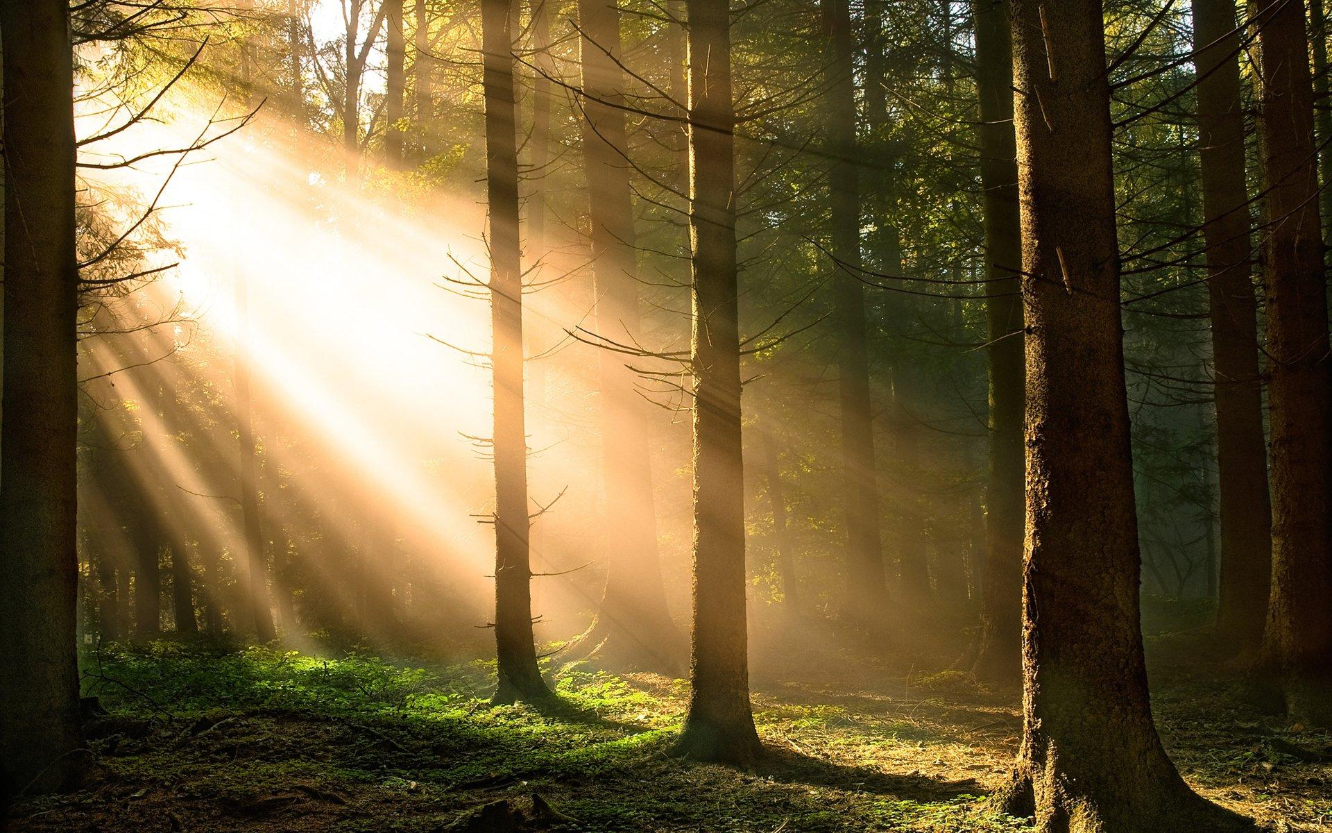 лес деревья солнечные лучи  № 917559 загрузить