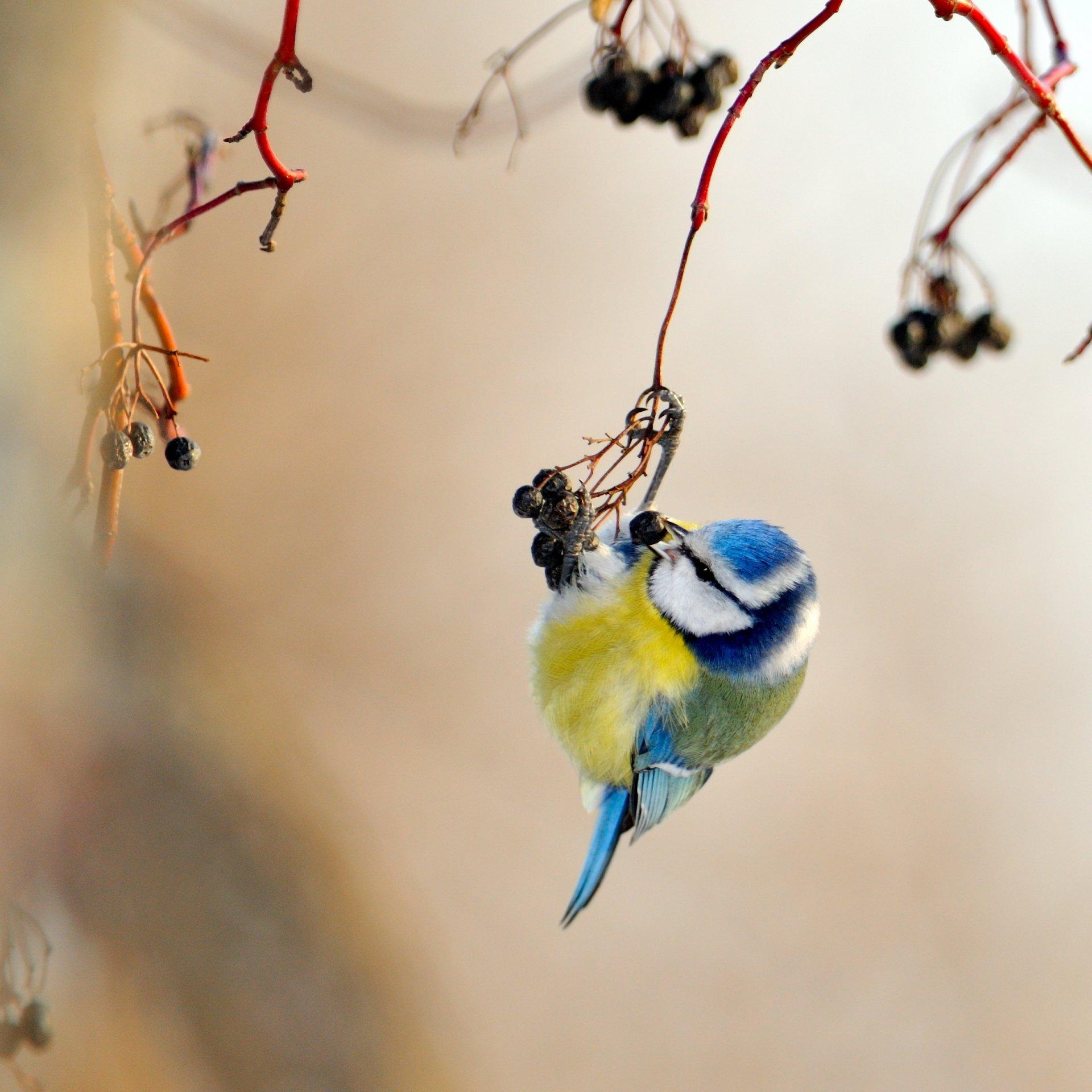 Птицы на ветке  № 1652686 без смс