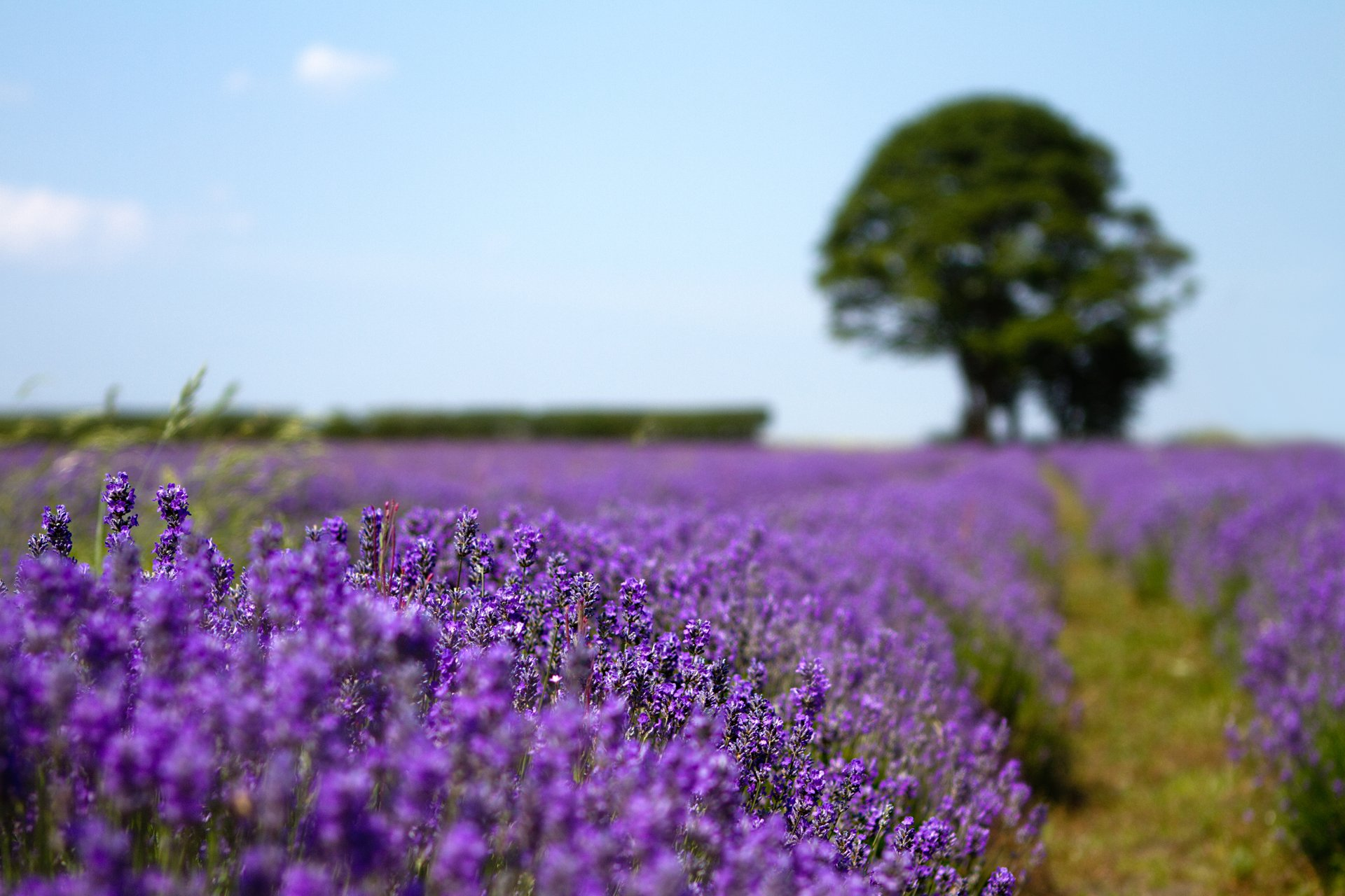 природа цветы деревья лаванда бесплатно