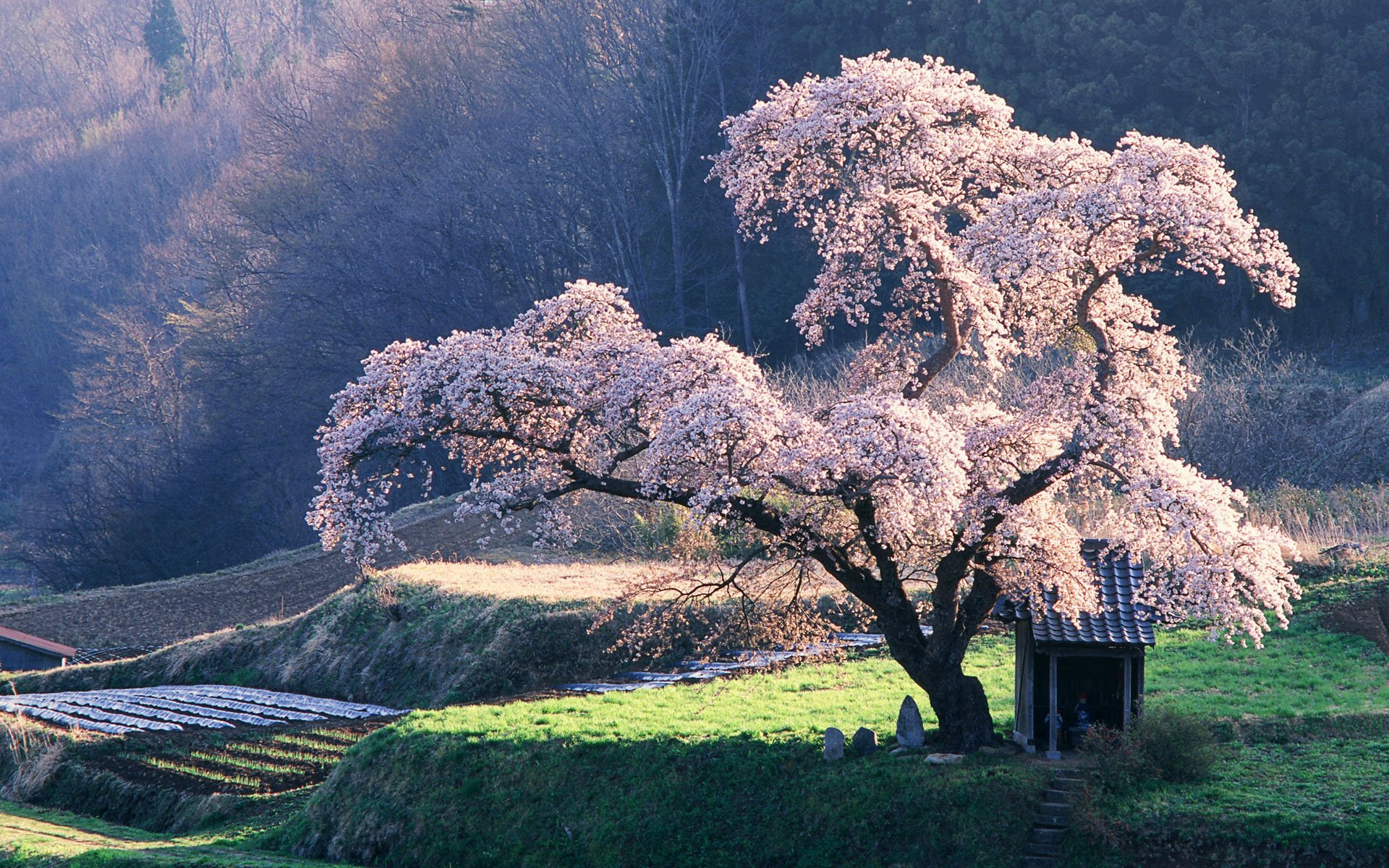 Cherry blossom tree pictures japan