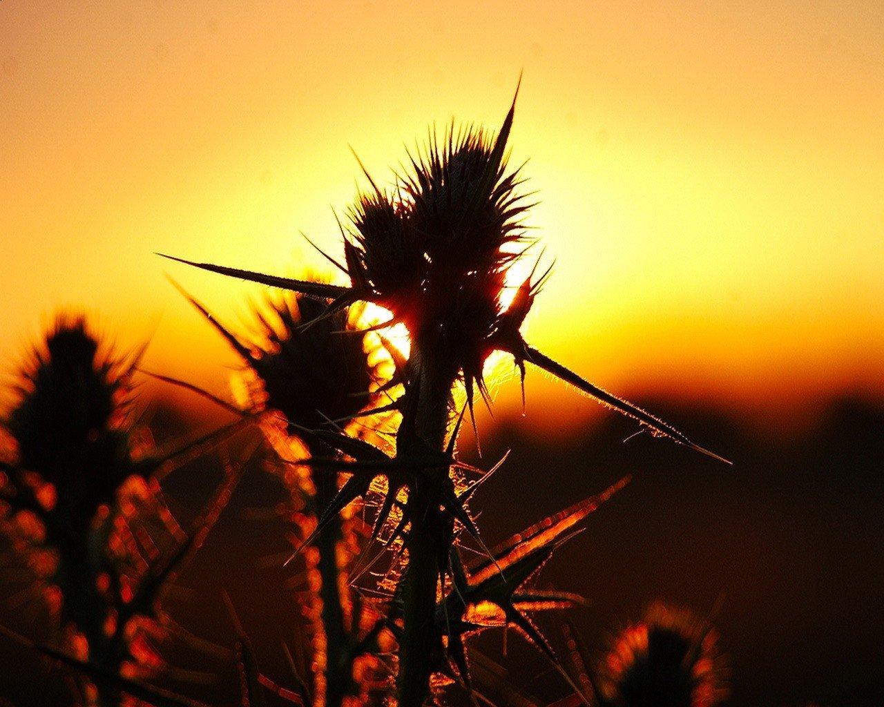 колючая трава без смс