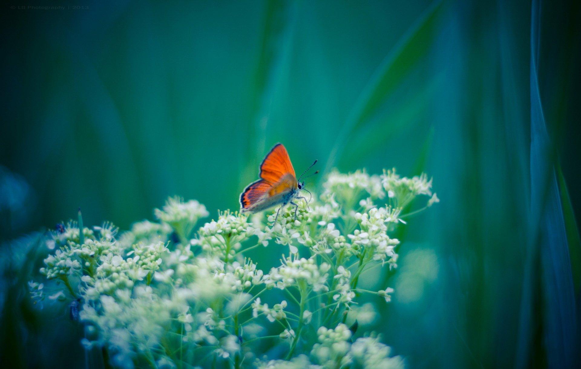 Бабочка голубая цветок макро загрузить