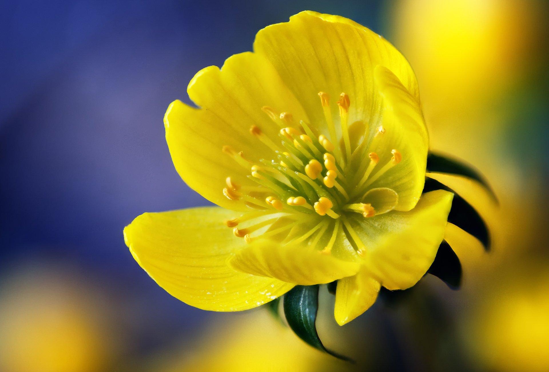 Желтый распустившийся цветок  № 731751 загрузить