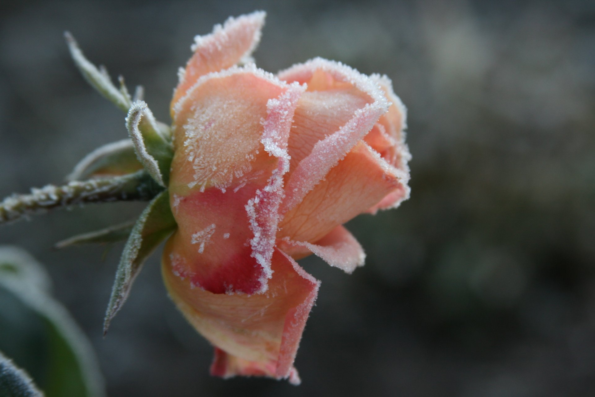 Обои цветок, цветы, иней, обои, Мороз. Макро foto 9