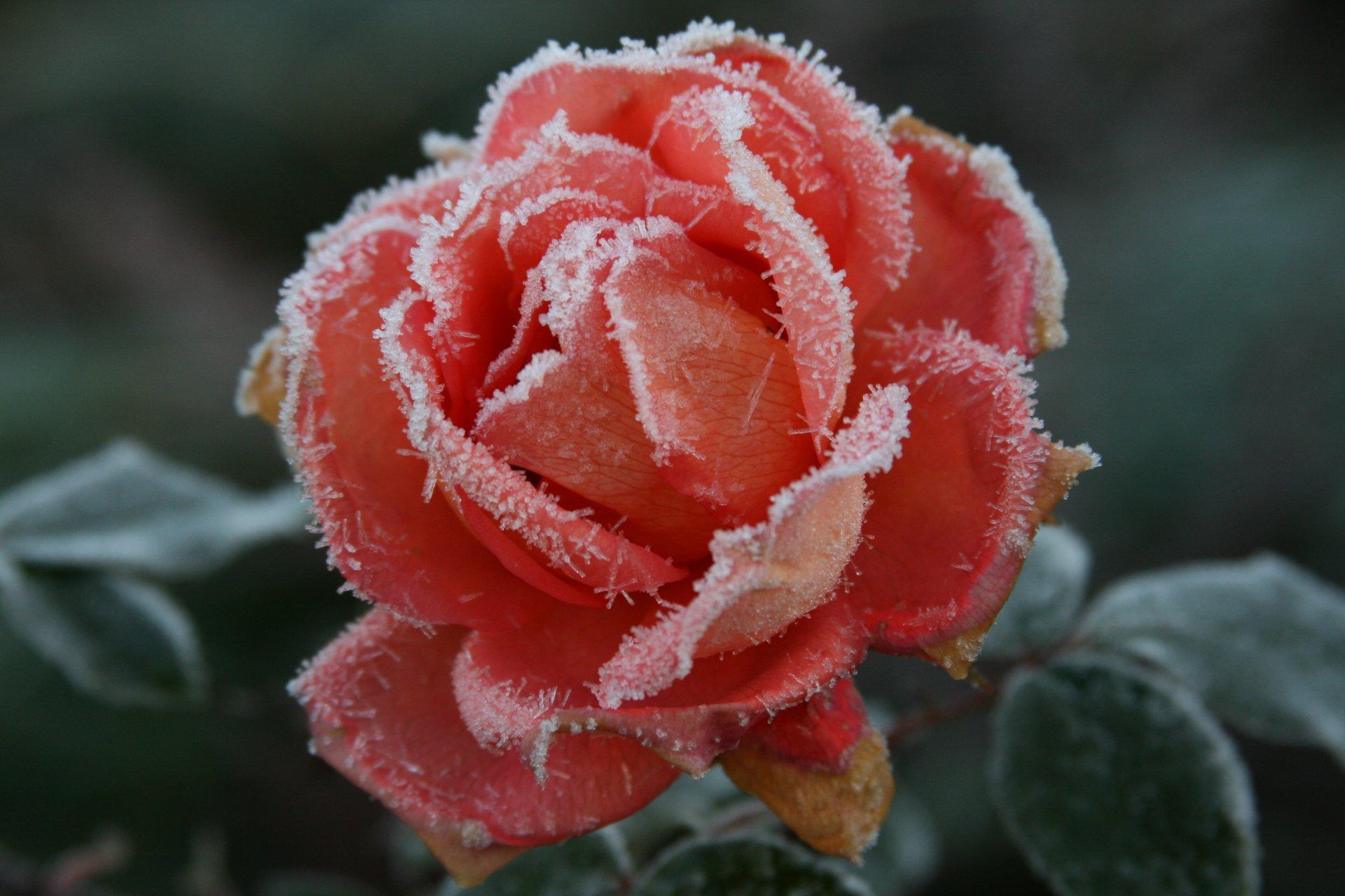 Обои цветок, цветы, иней, обои, Мороз. Макро foto 11