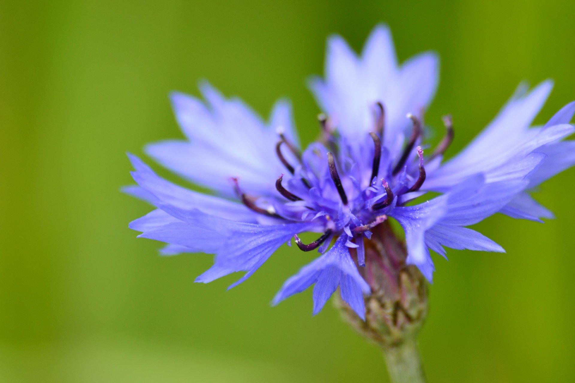 Василек полевой фото цветов