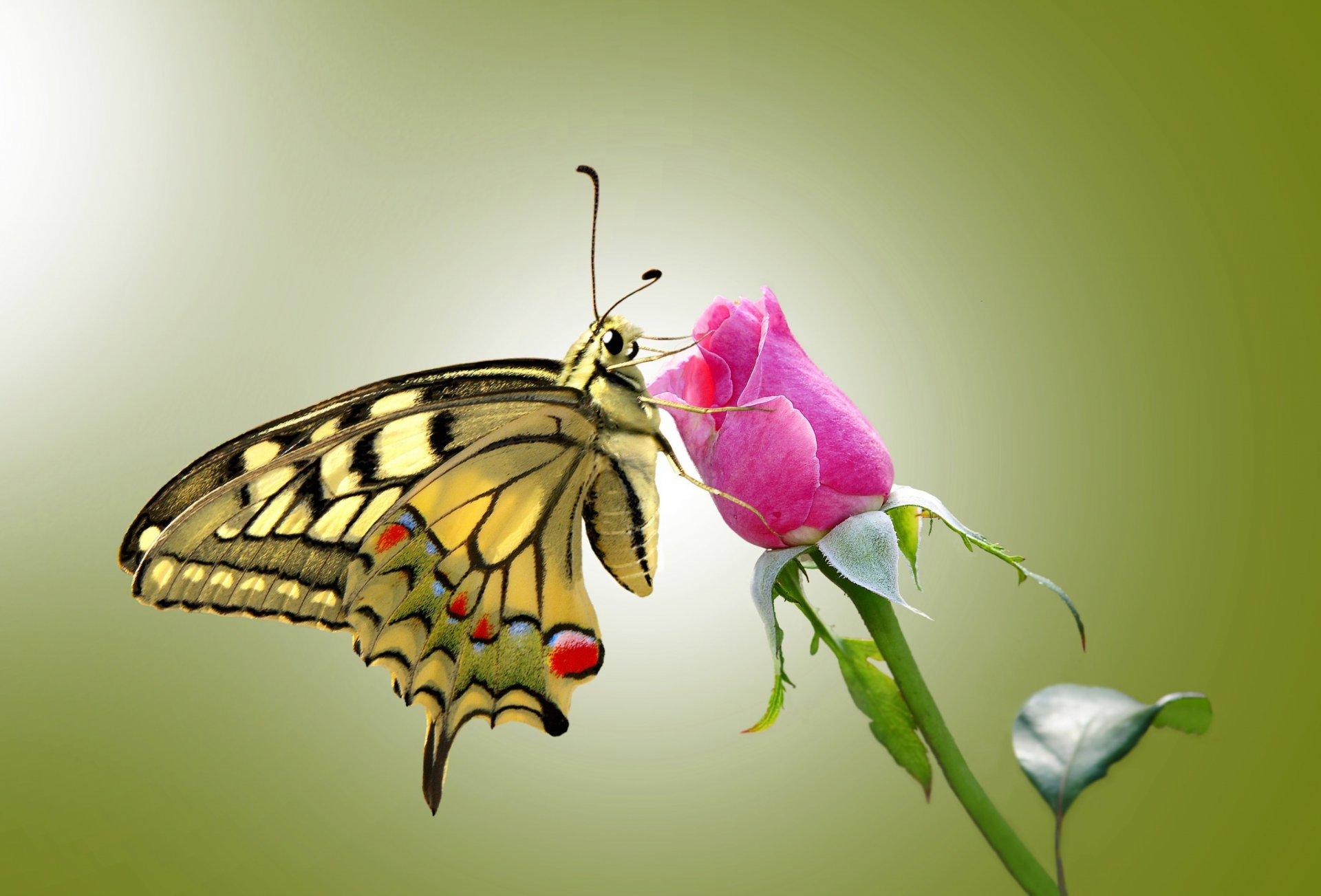 Открытка бабочка на розе, такси