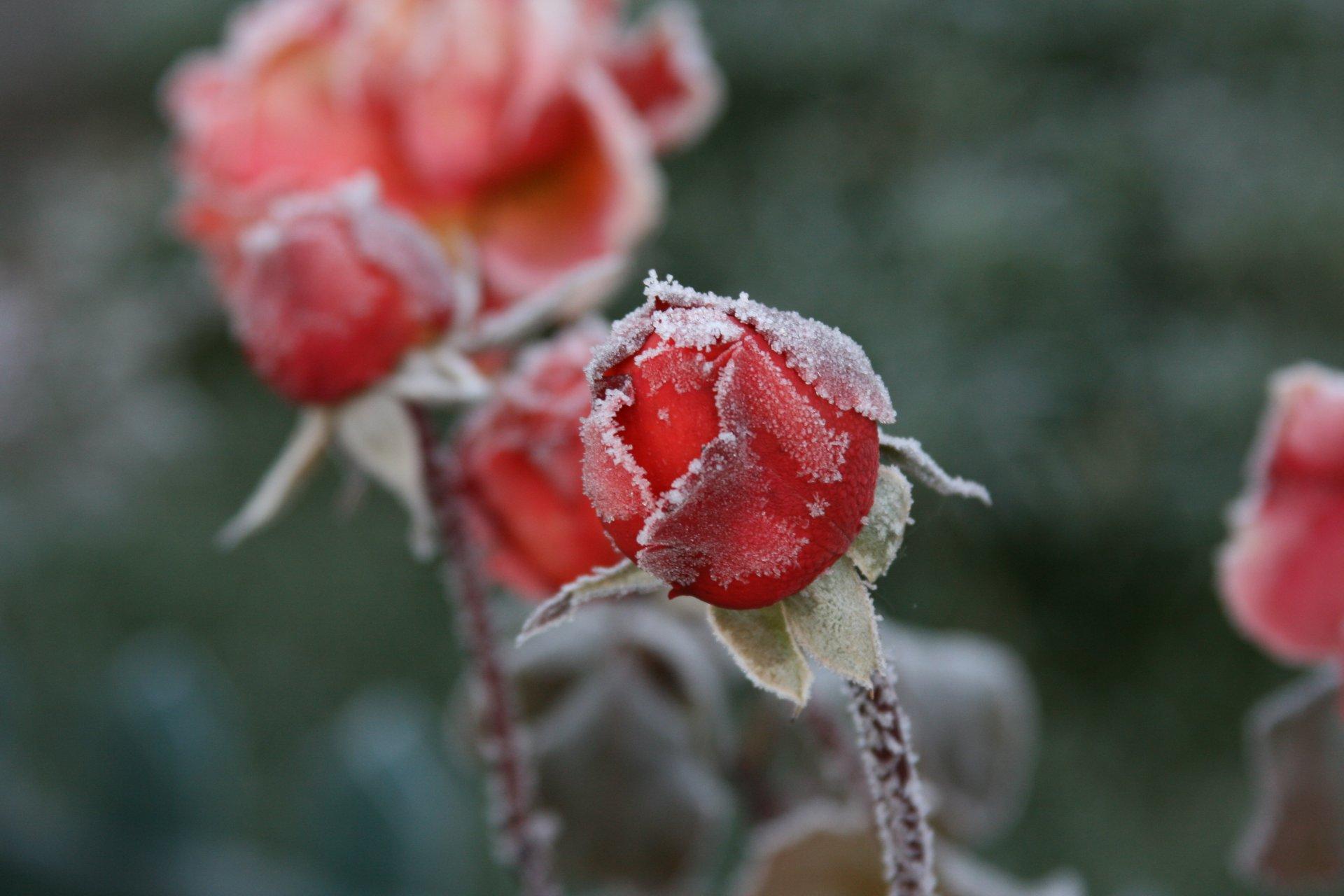 Обои цветок, цветы, иней, обои, Мороз. Макро foto 16