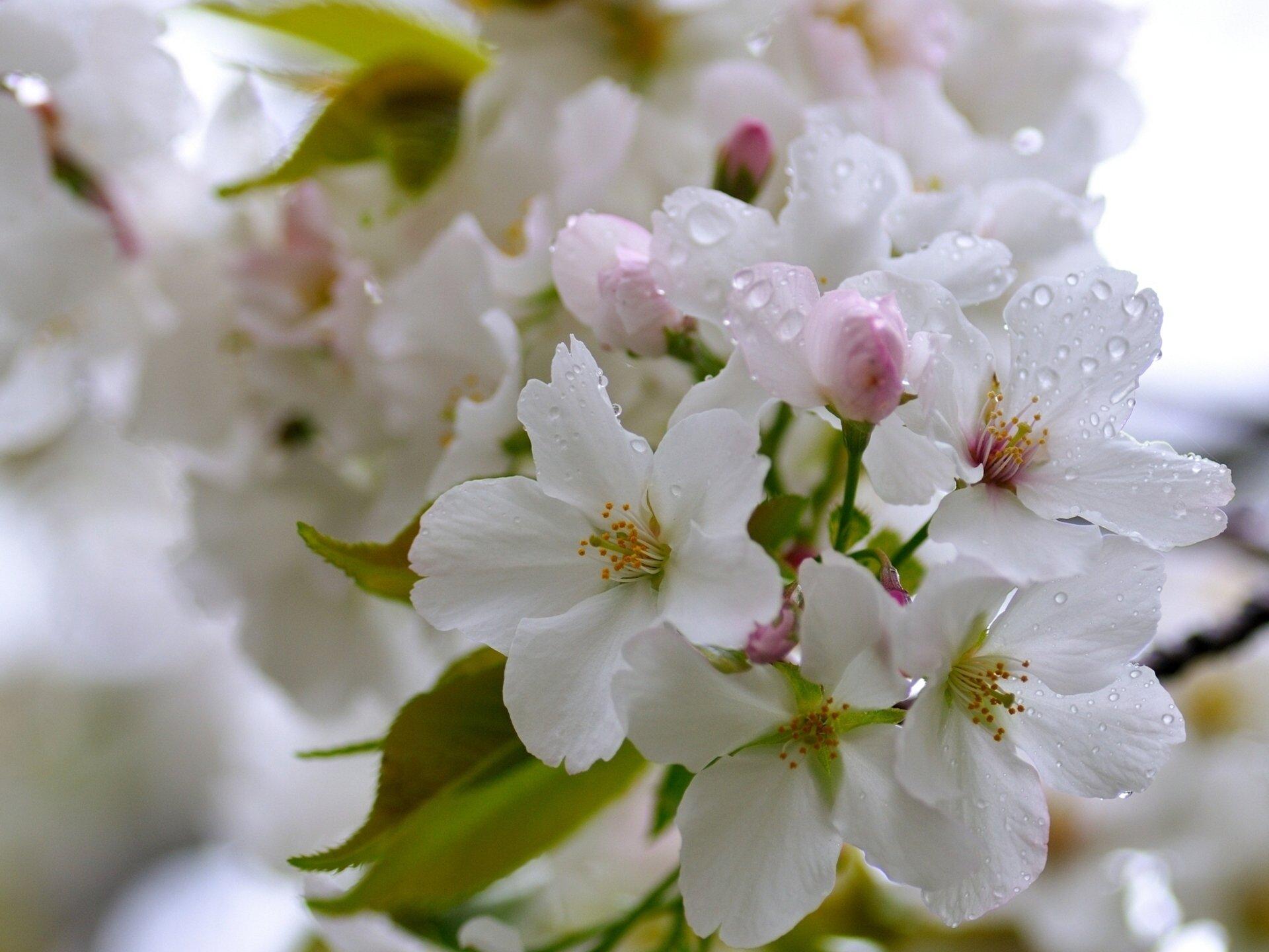 вишня цветение  № 2767238 загрузить