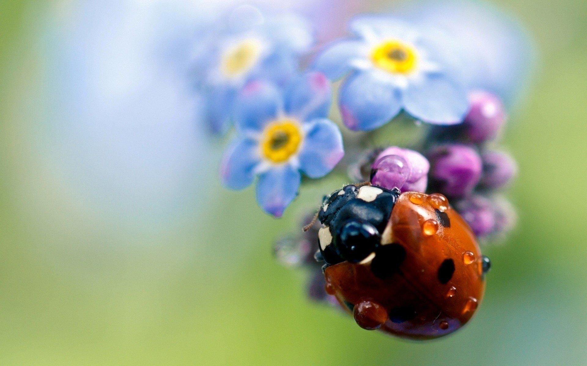 Цветы божья коровка лепестки без смс