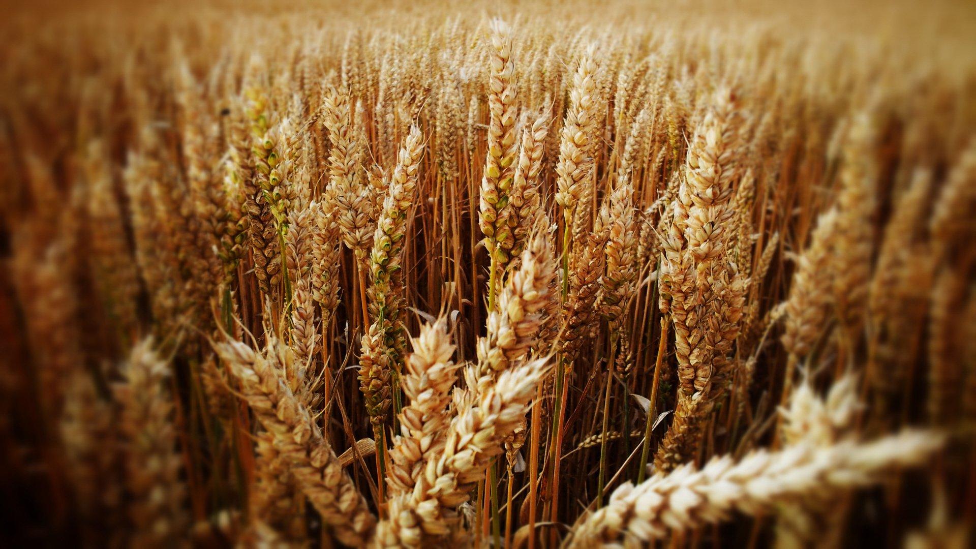 смещением возникает, колосья пшеницы фото картинки проводят