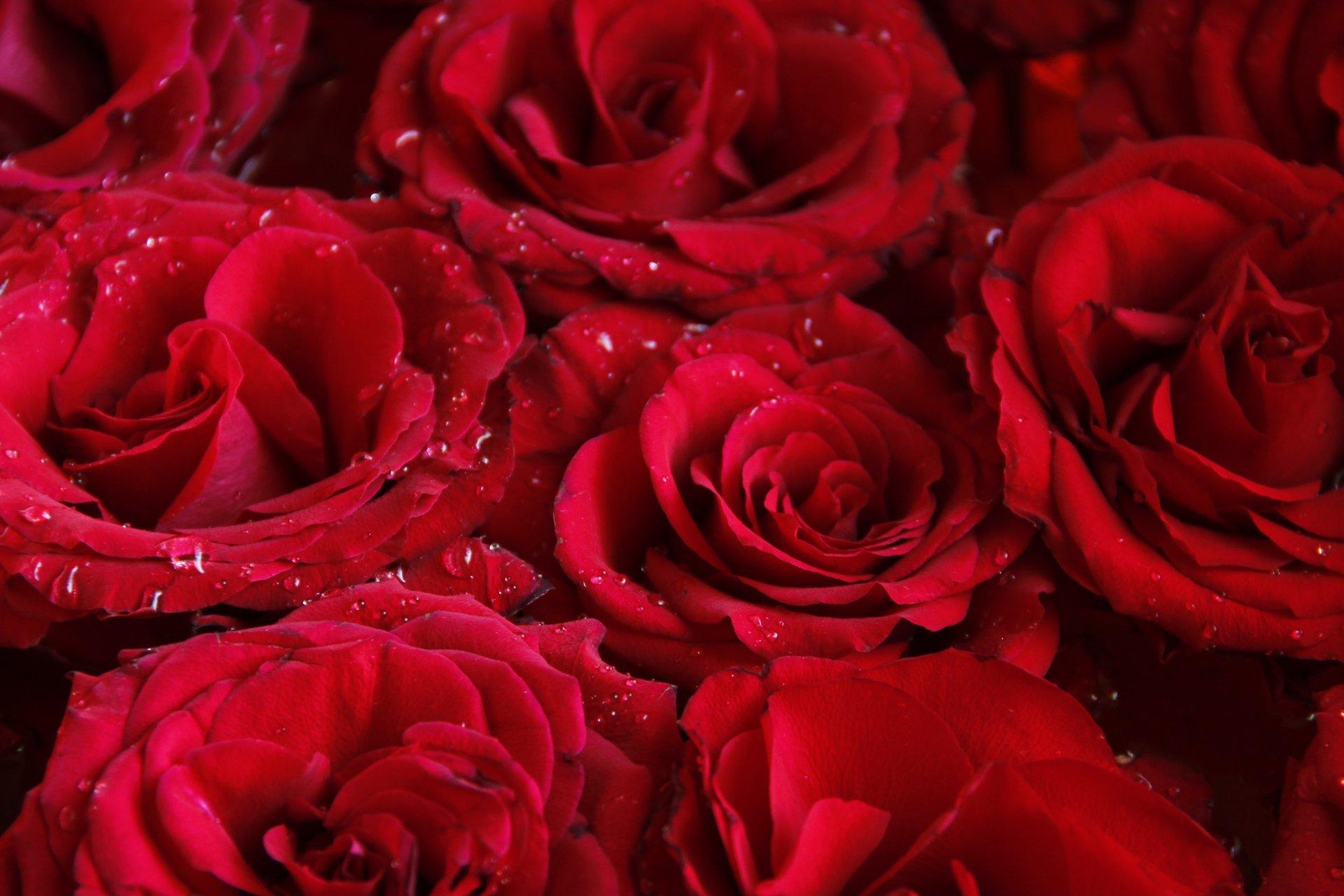 форма фото ярких красных роз того