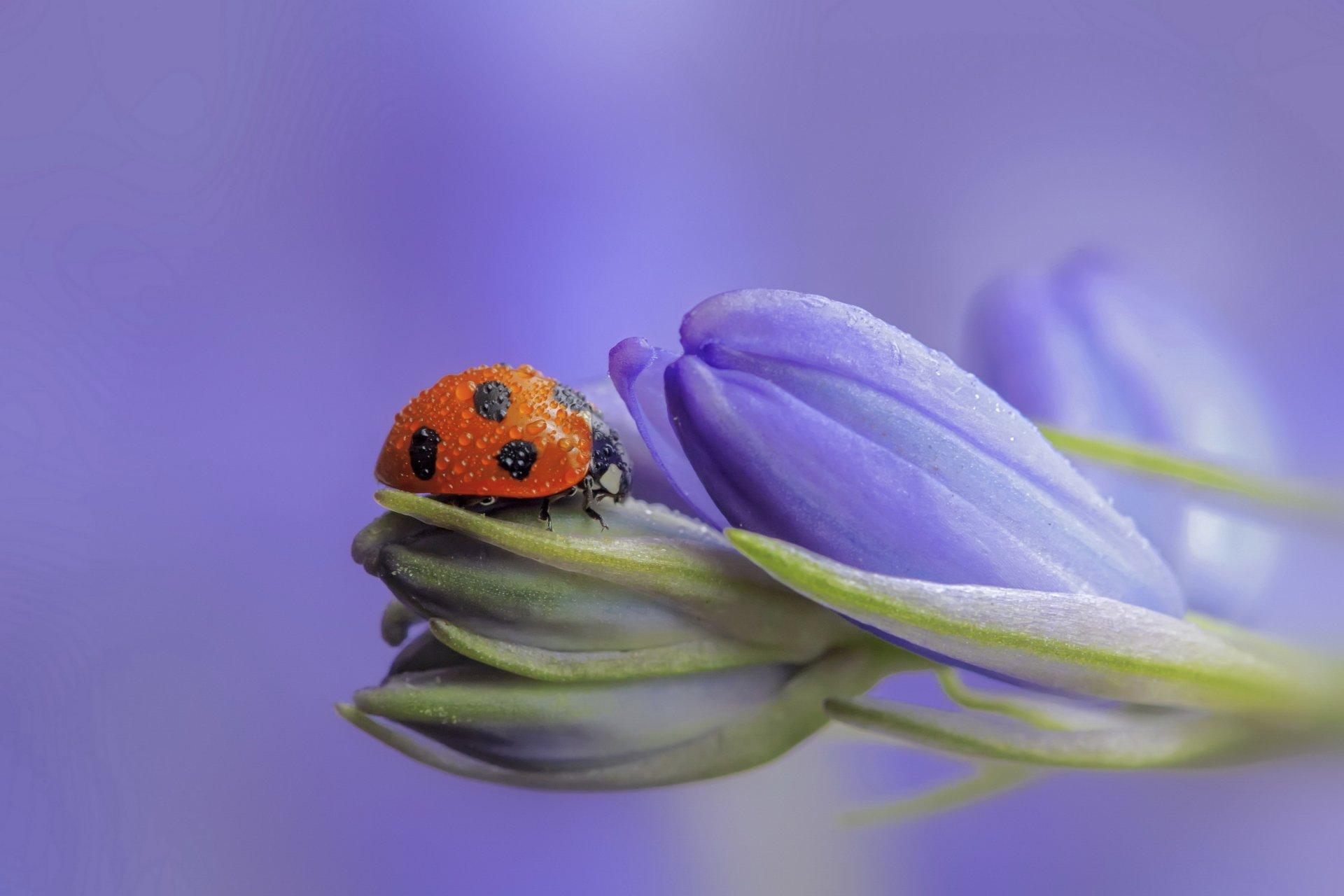 Голубые цветы божья коровка загрузить