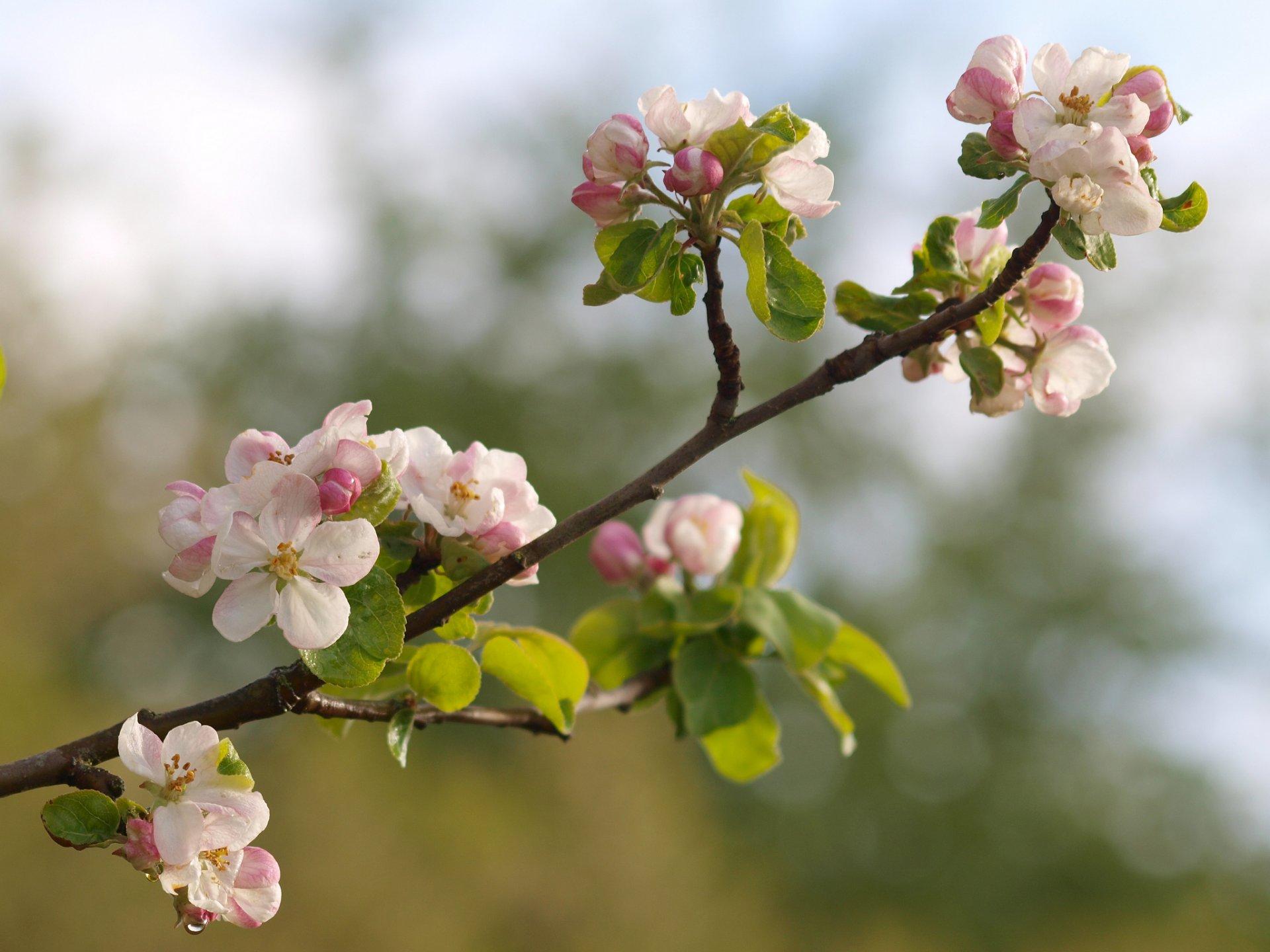 веточка цветущей яблони веранды вторым жилым