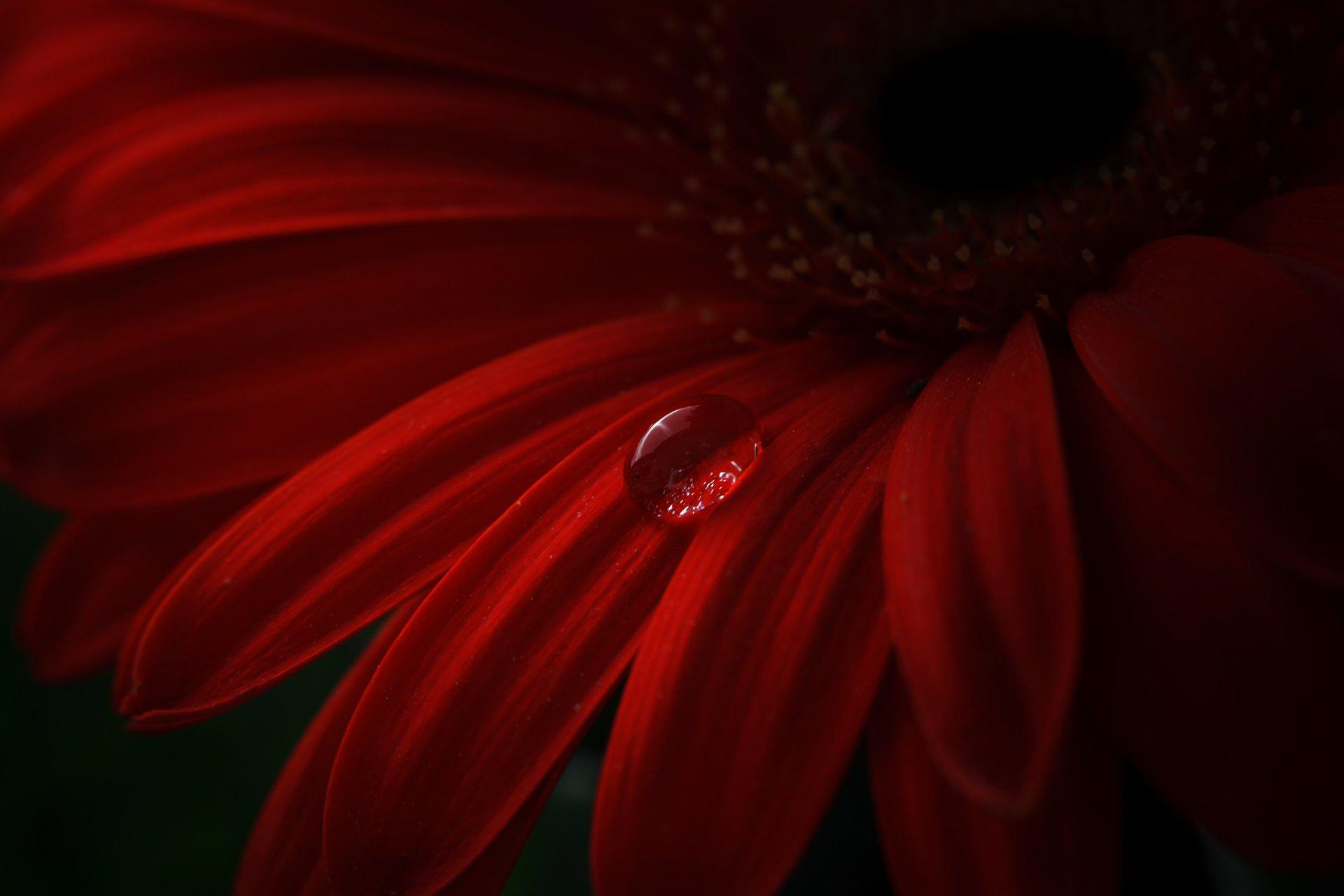 Цветок бордовый капли загрузить