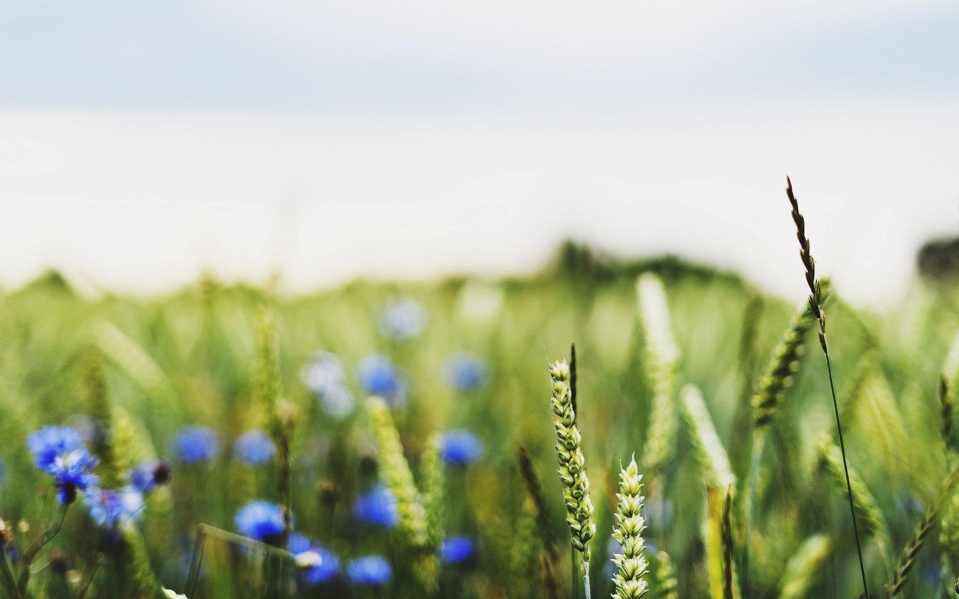 зеленые колосья цветы поляна  № 3213862  скачать