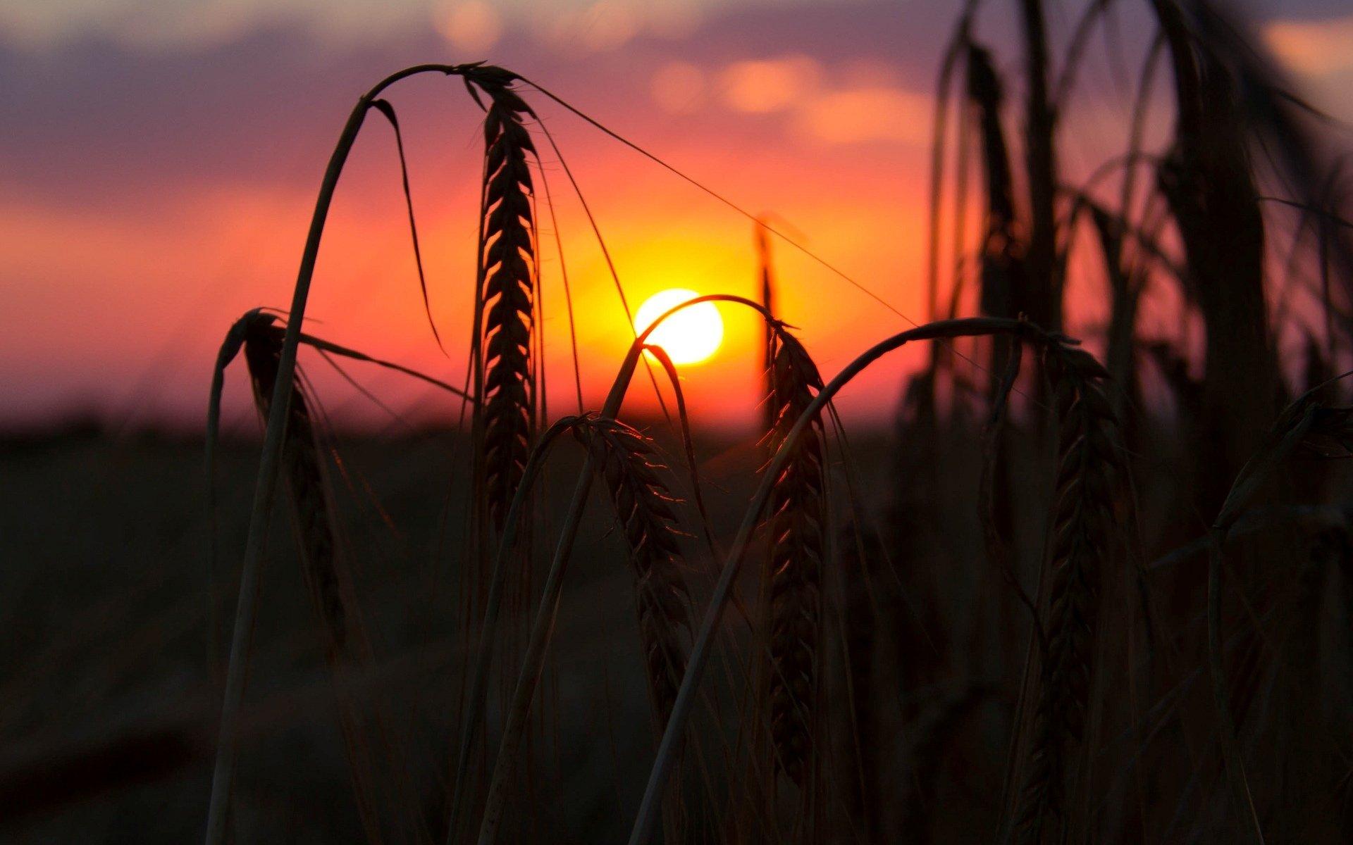поле колоски закат без смс