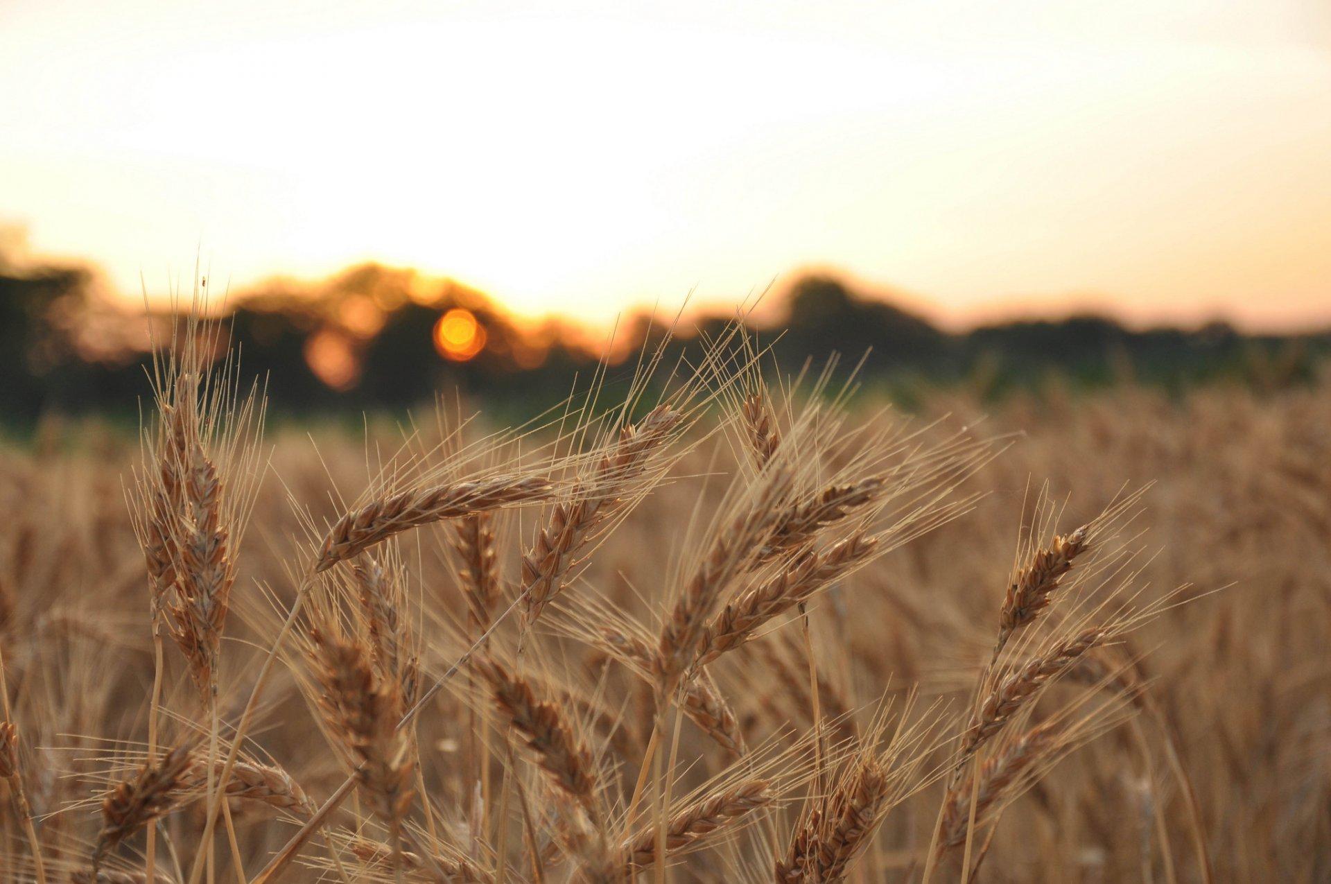 два американских пшеница красивые фотографии провели воде целый