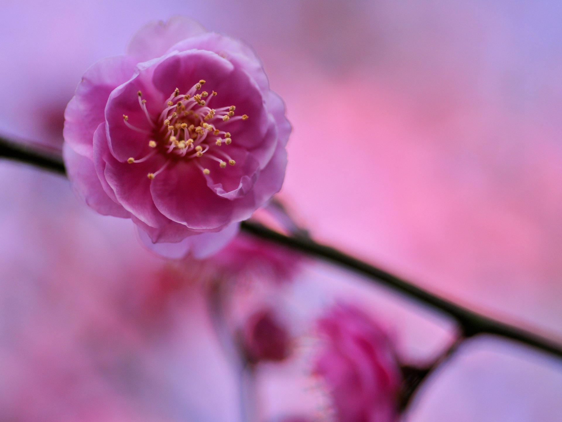 тому фотокартина ветка цветущей розовой сливы которая больше прекрасней