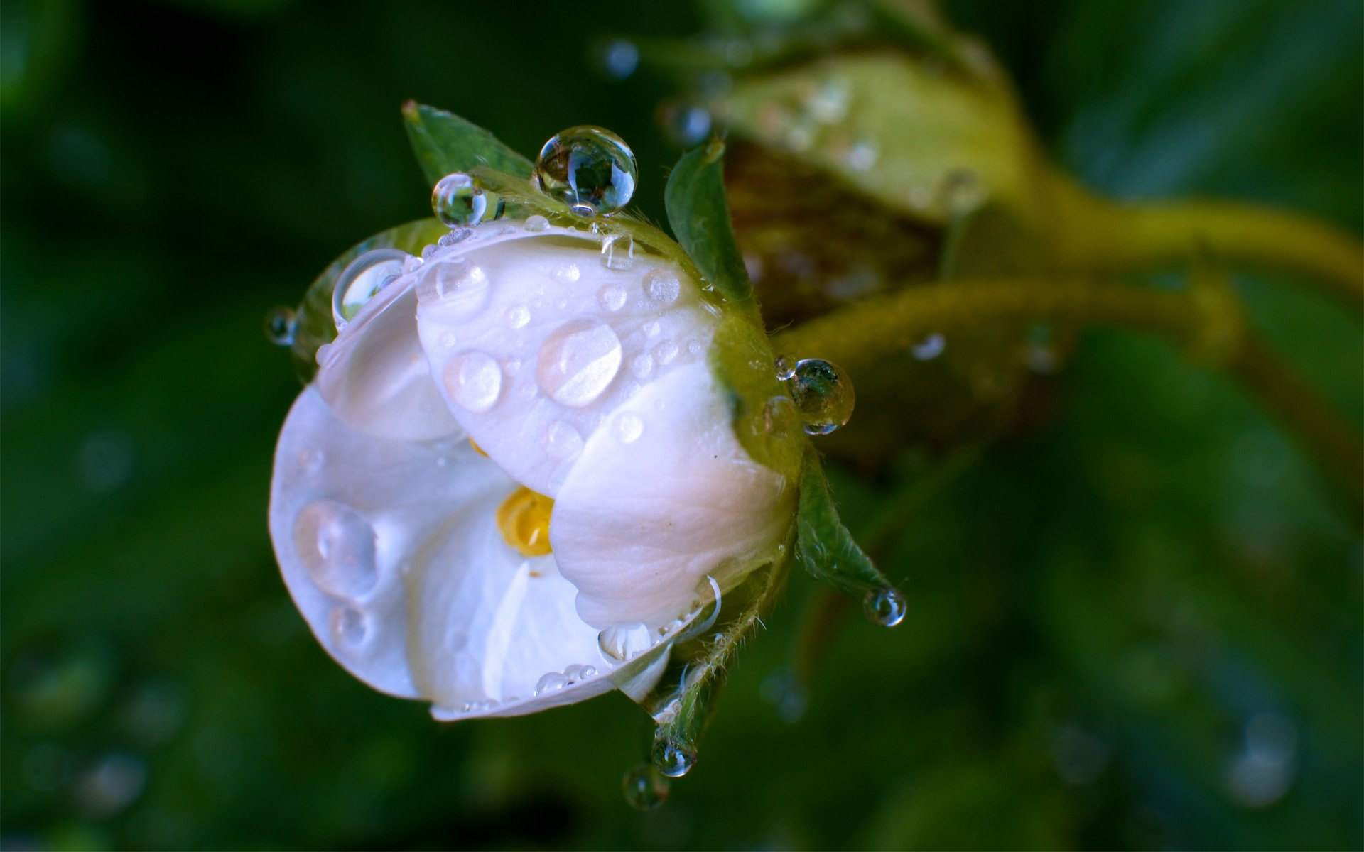 капля макро цветок скачать