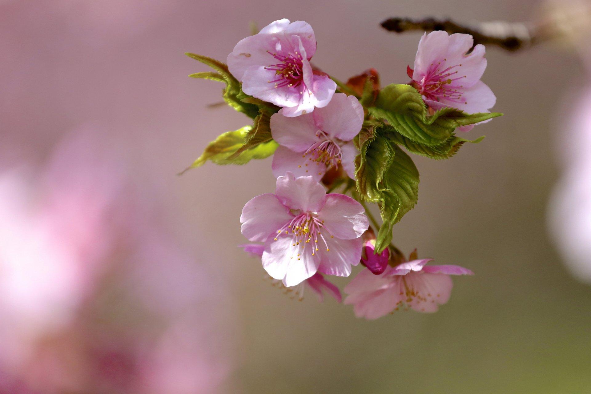 Цветение на ветке скачать