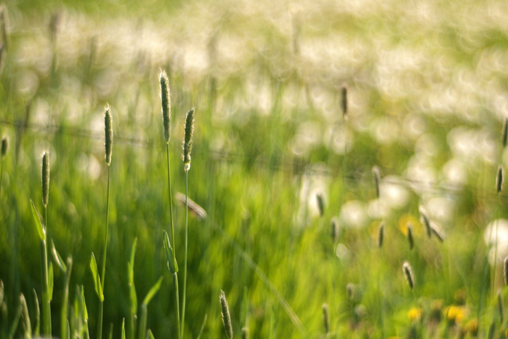 Обои колоски, Весна. Макро foto 15