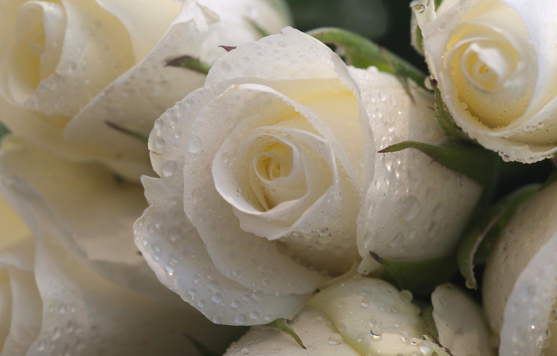 белые розы обои картинки появляется