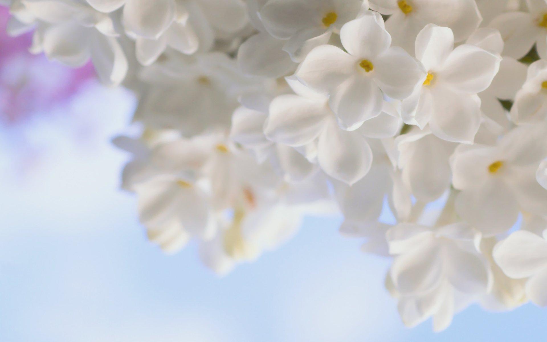 Сирень белая розовая сиреневая  № 3065846 загрузить