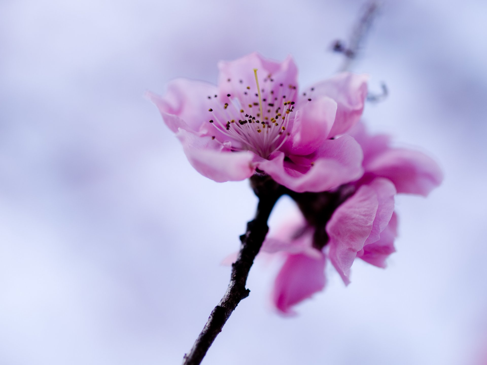 Цветение сакуры фото высокого разрешения - King Sport 62