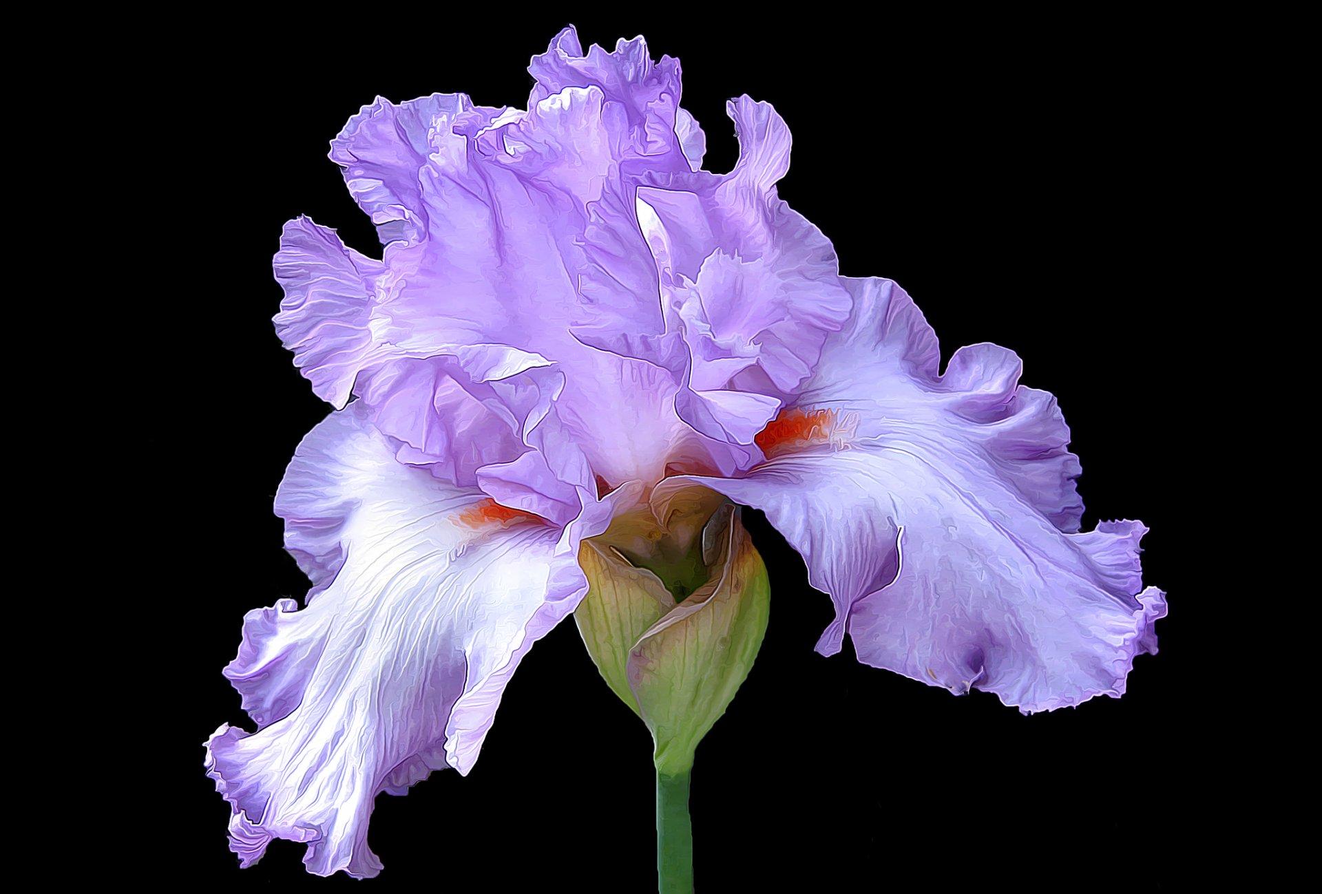 картинки цветы ирисы красивые большие на весь экран самом деле специально